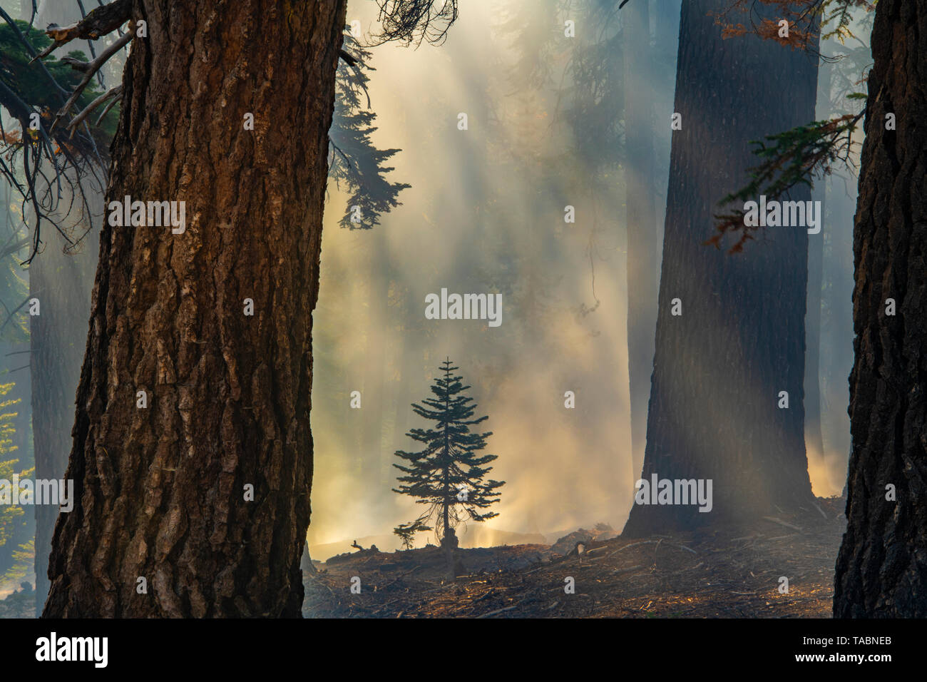 Aftermath of forest fire, Yosemite National Park, California, USA, by Bill Lea/Dembinsky Photo Assoc - Stock Image
