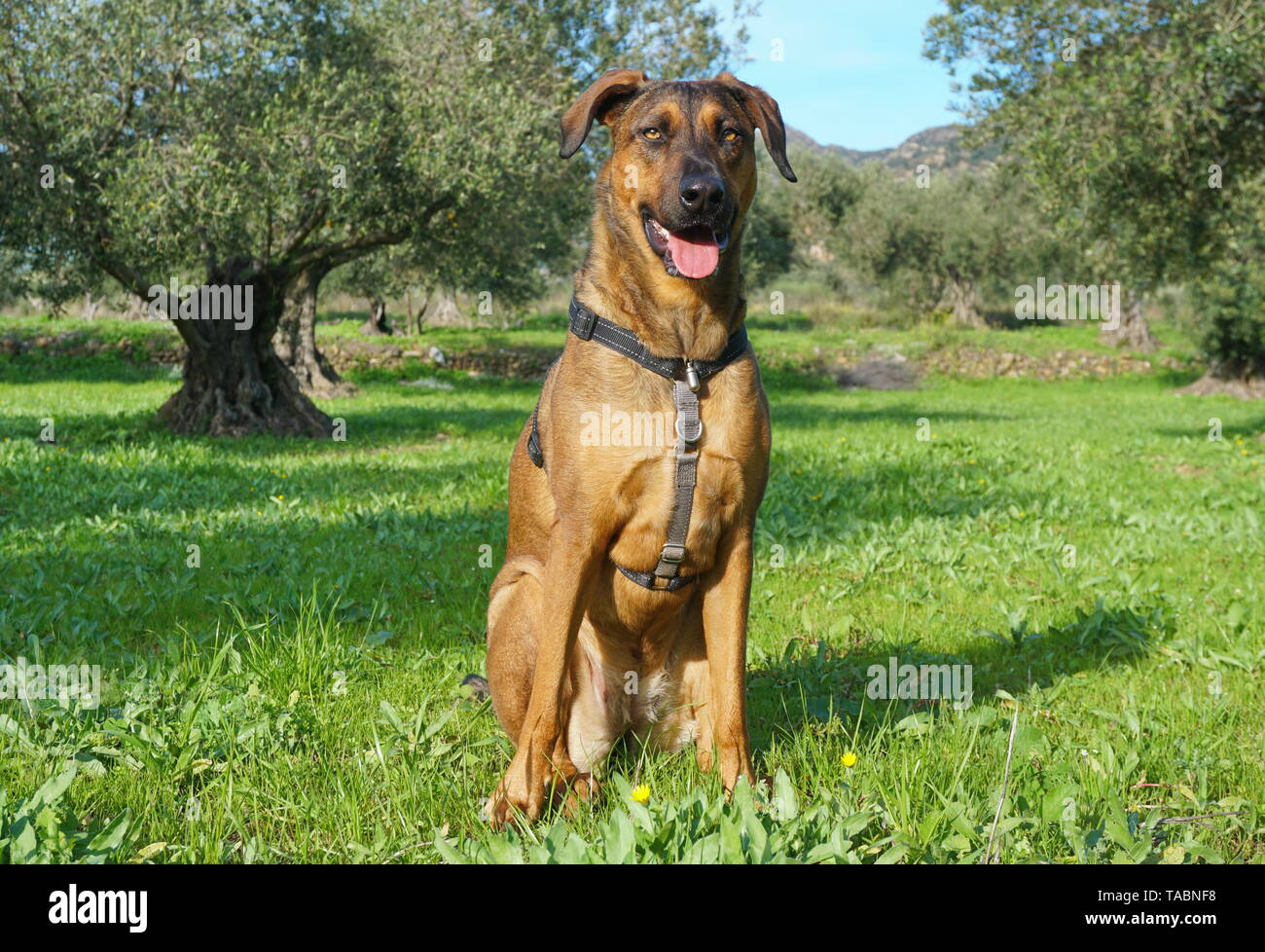 Proud dog sitting in the grass in a field of olive trees, Malinois Labrador mixed-breed dog, Spain - Stock Image