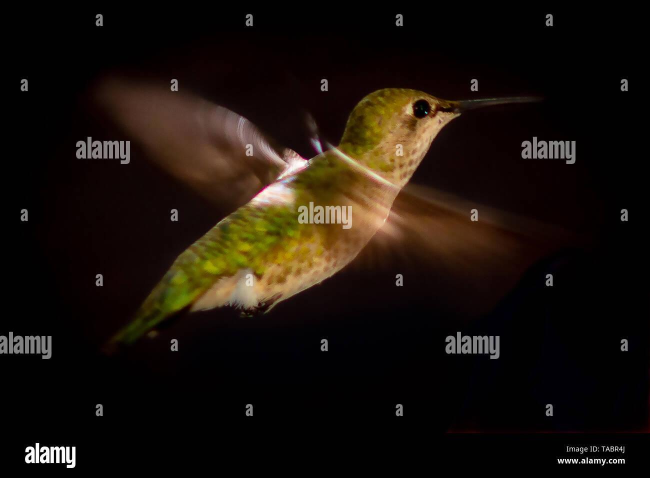 Hummingbird - Stock Image
