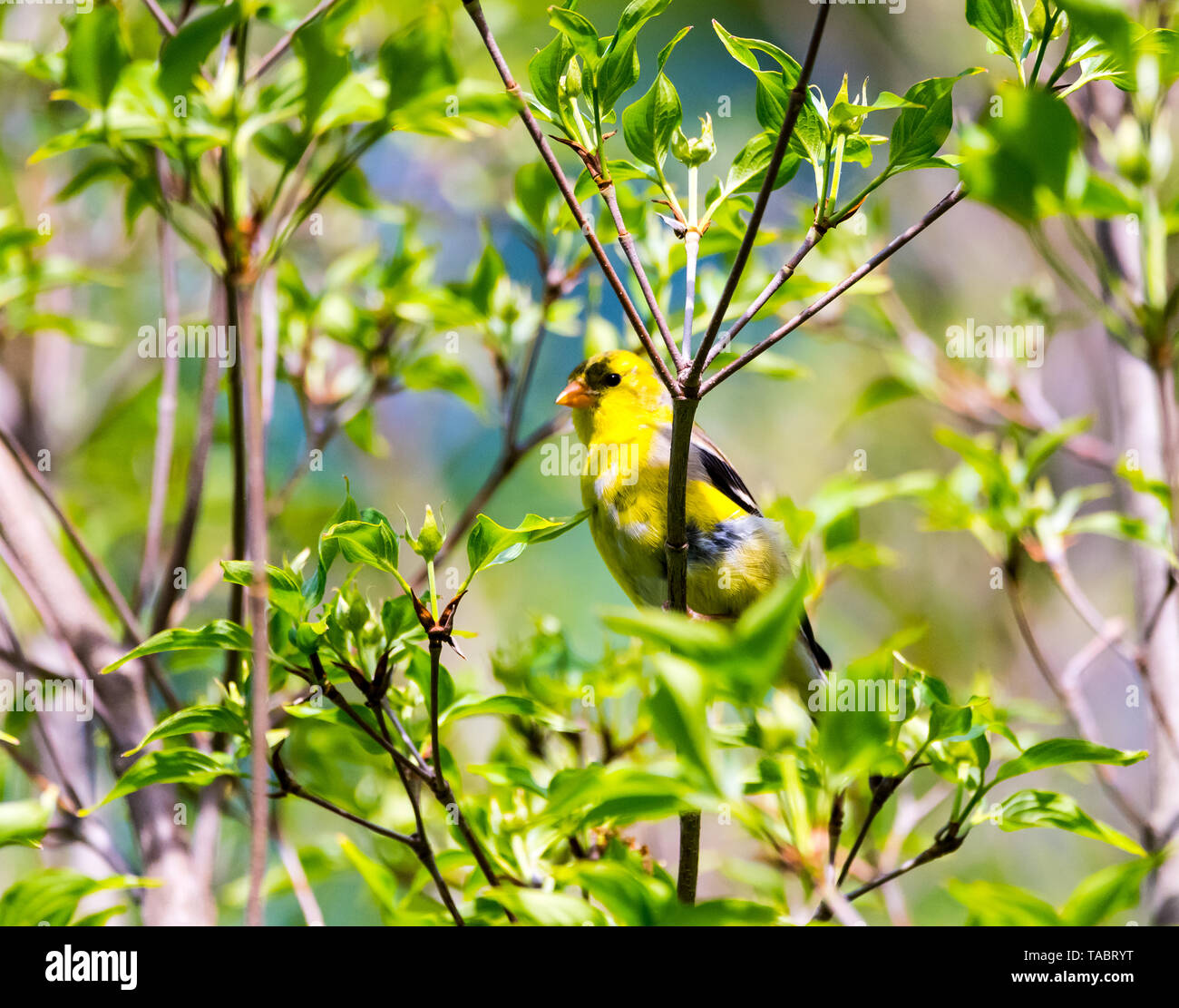 American Goldfinch sitting on a tree branch, surrounded by leaves, in the backyard. - Stock Image