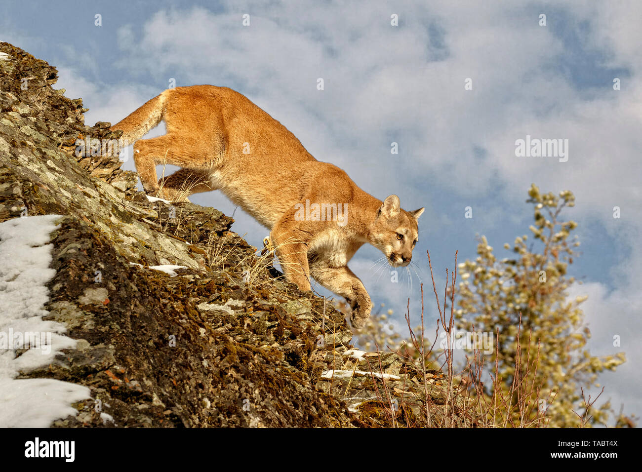 The cougar goes by many names including mountain lion, puma, panther