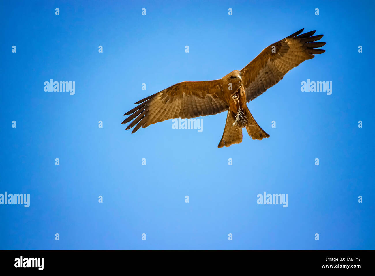 Black kite, Milvus migrans in flight in Senegal, Africa. Close up photo of big eagle. He carries a twig in his claw It is wildlife photo. There is blu - Stock Image