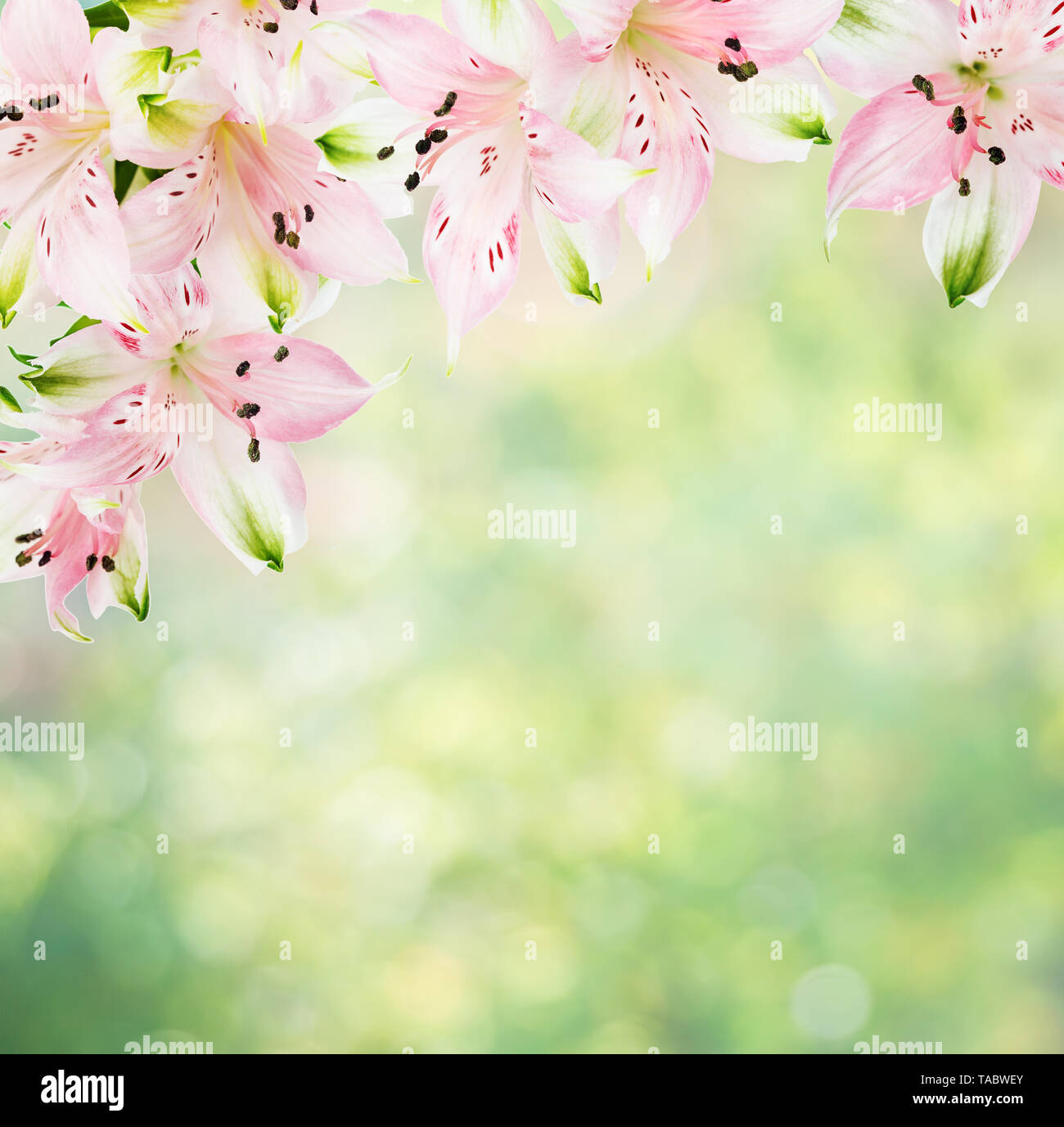 Beautiful frame of pink alstroemeria flowers on the blurred abstract natural yellow-green background with bokeh, with copy-space - Stock Image