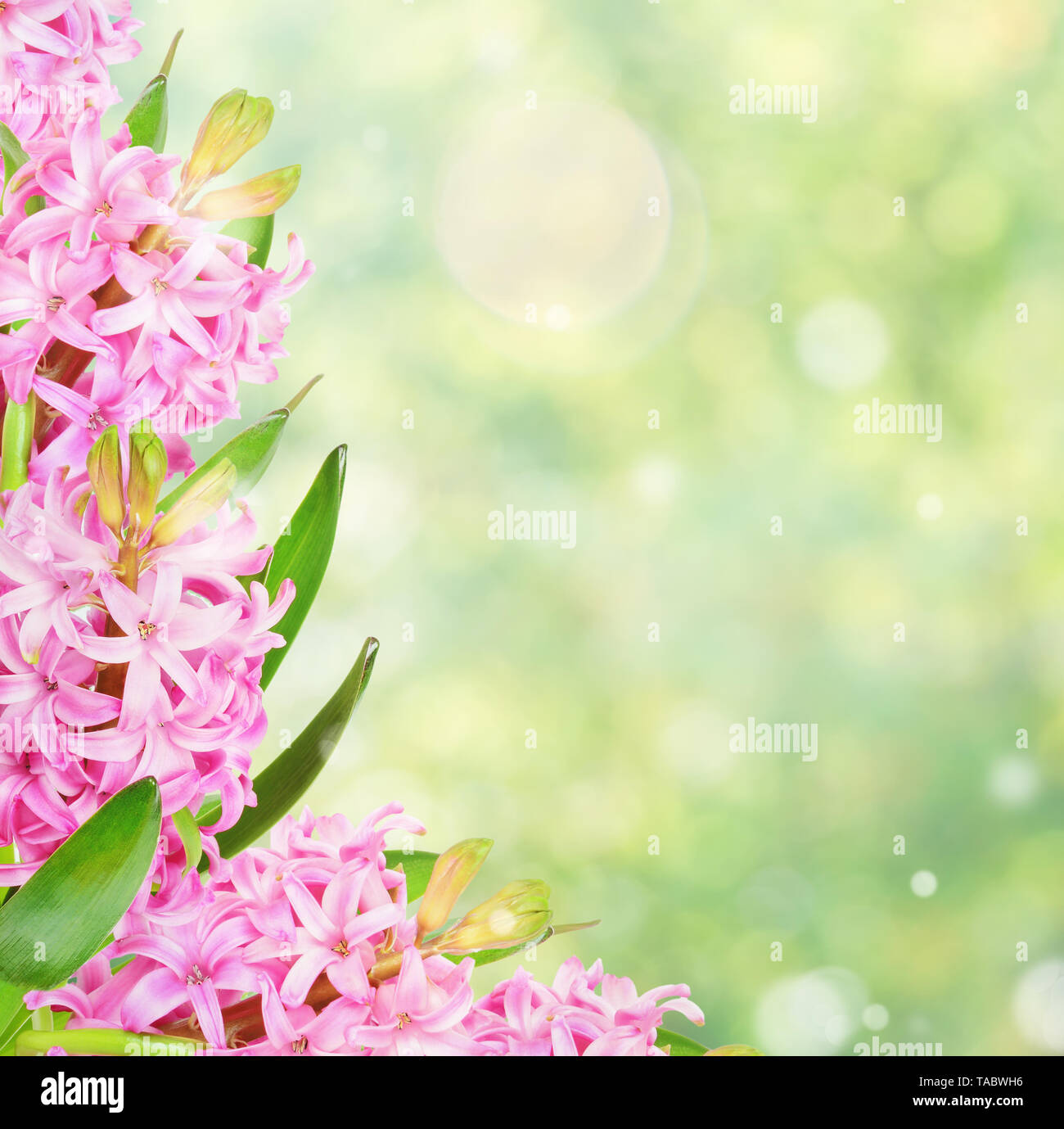 Beautiful frame of pink Hyacinth flowers on the blurred abstract natural yellow-green background with bokeh, with copy-space - Stock Image