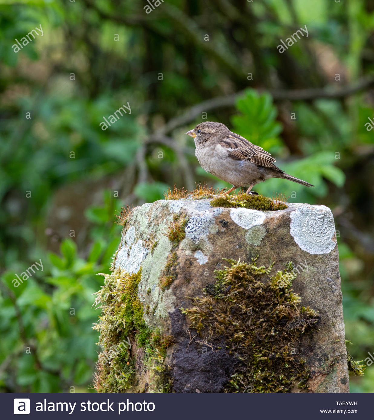 Juvenile House Sparrow (Passer domesticus) perched on moss covered sandstone - Stock Image