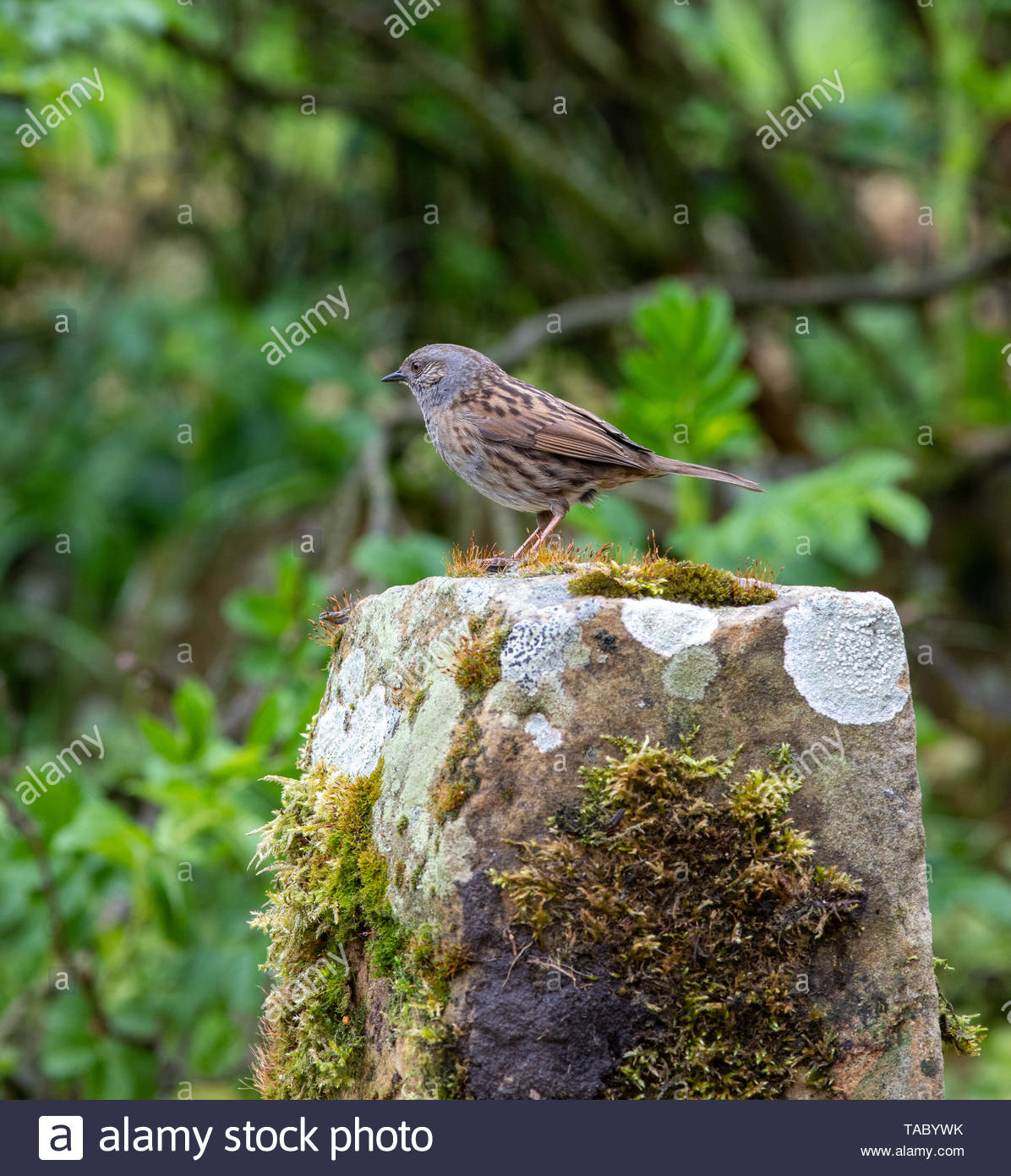 Dunnock (Prunella modularise) perched on moss covered sandstone - Stock Image