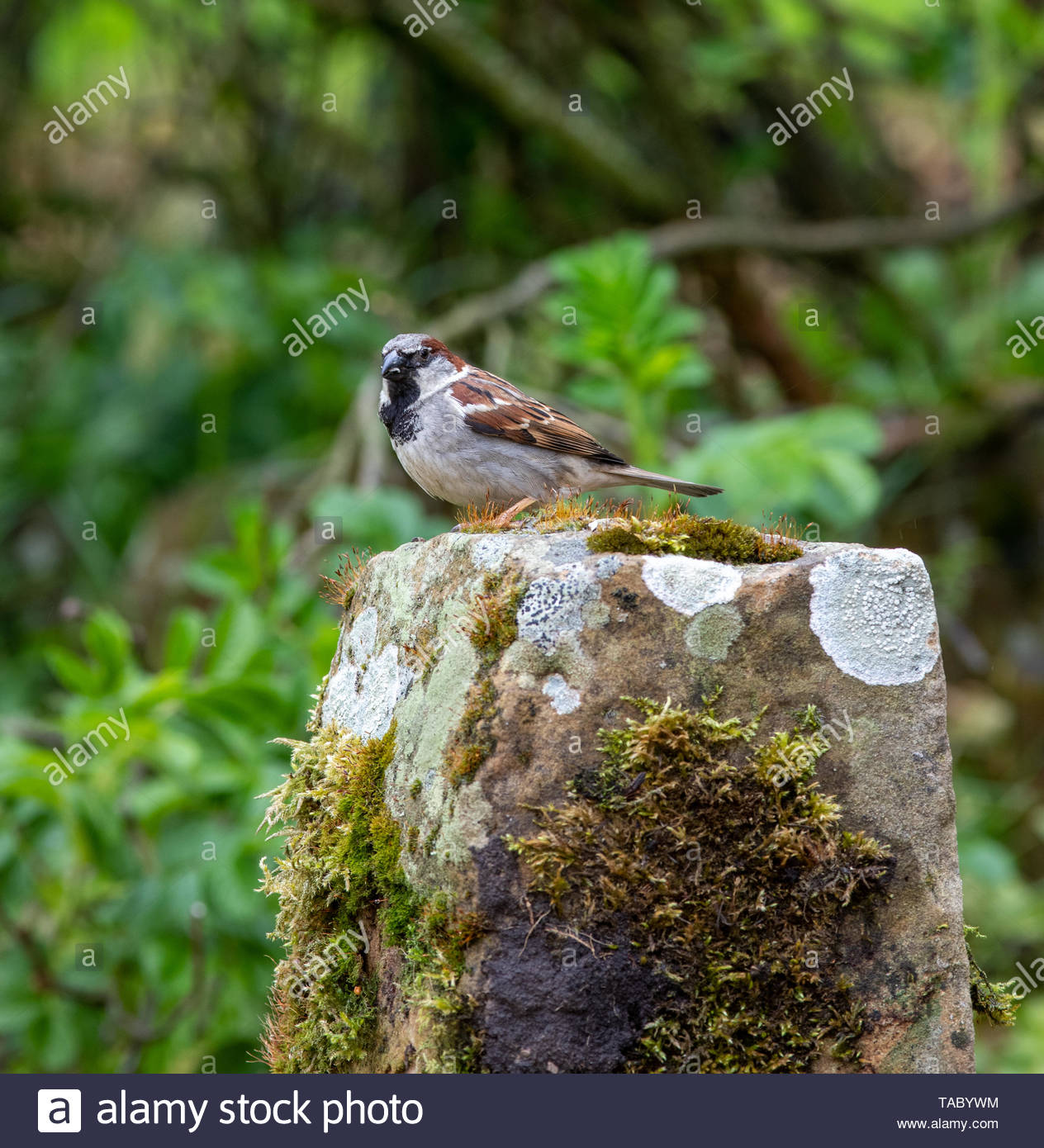 House Sparrow (Passer domesticus) perched on moss covered sandstone - Stock Image