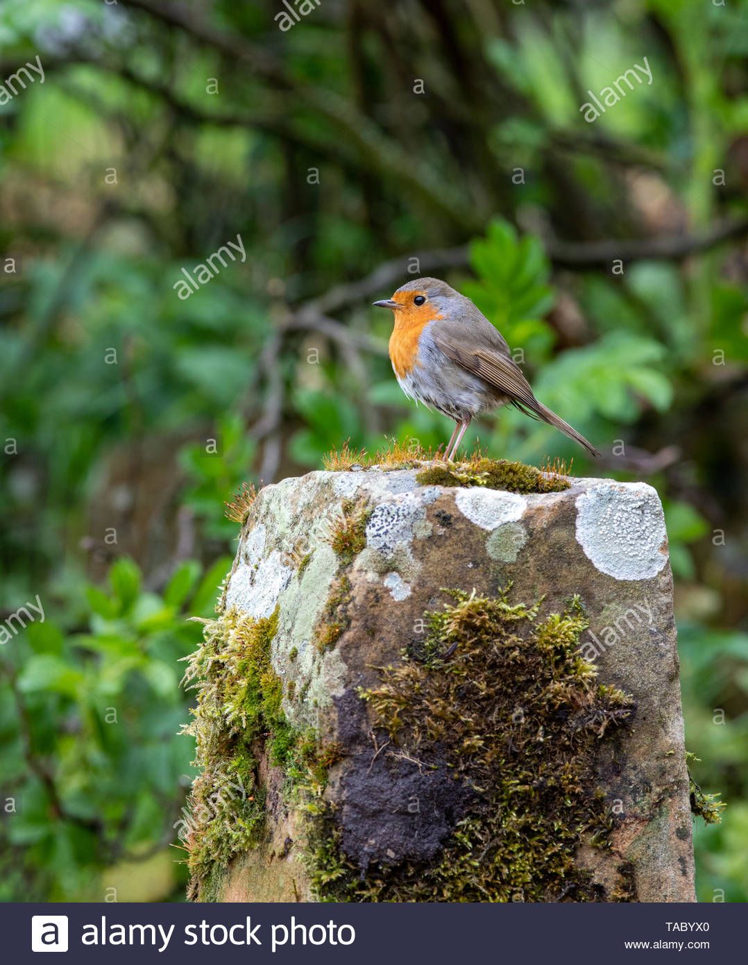 Robin (Erithacus rubecula) perched on moss covered sandstone Stock Photo