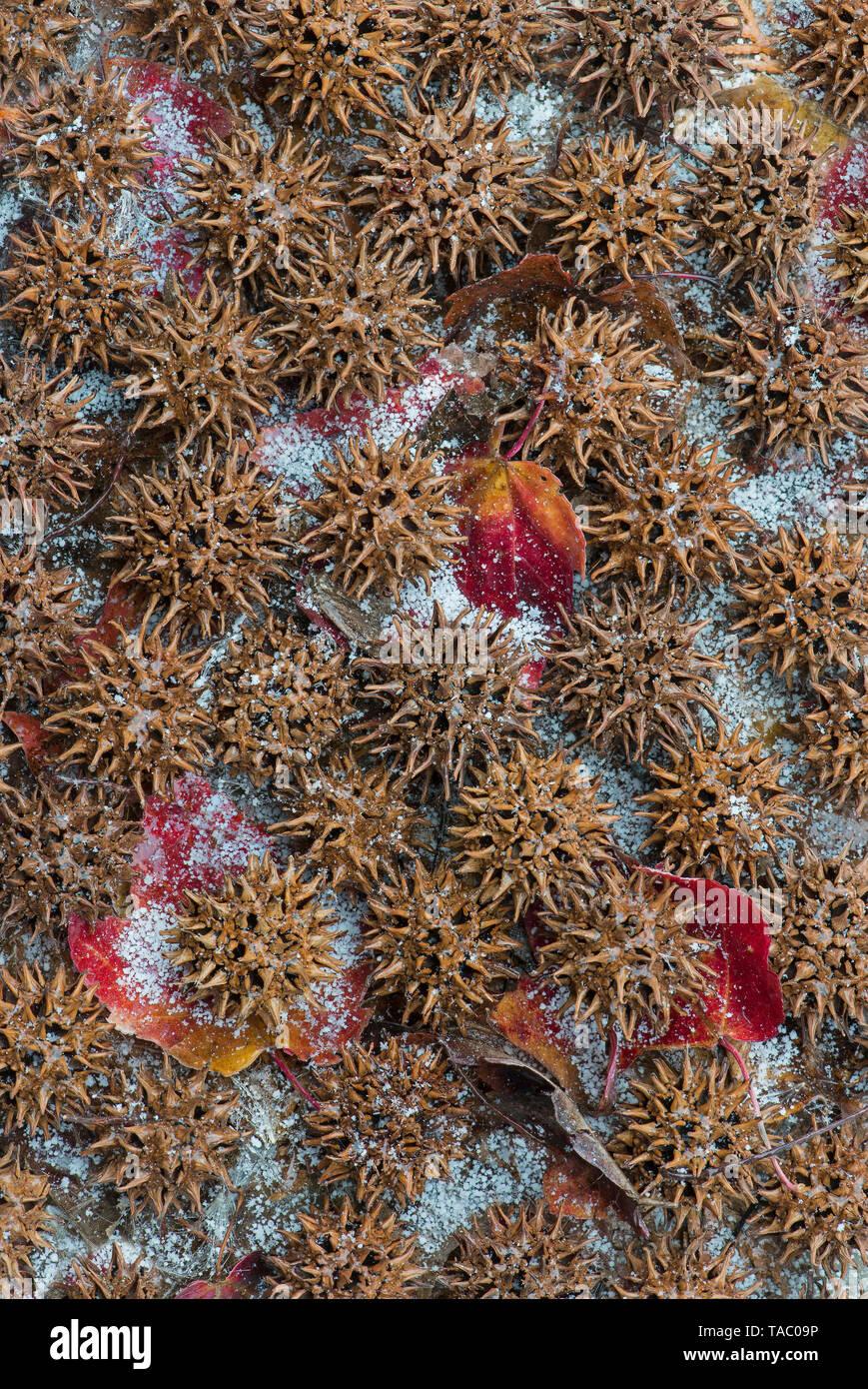 American Sweet Gum (Liquidambar styraciflua), fruit, seed and snow, Ornamental tree, E USA, by Skip Moody/Dembinsky Photo Assoc - Stock Image