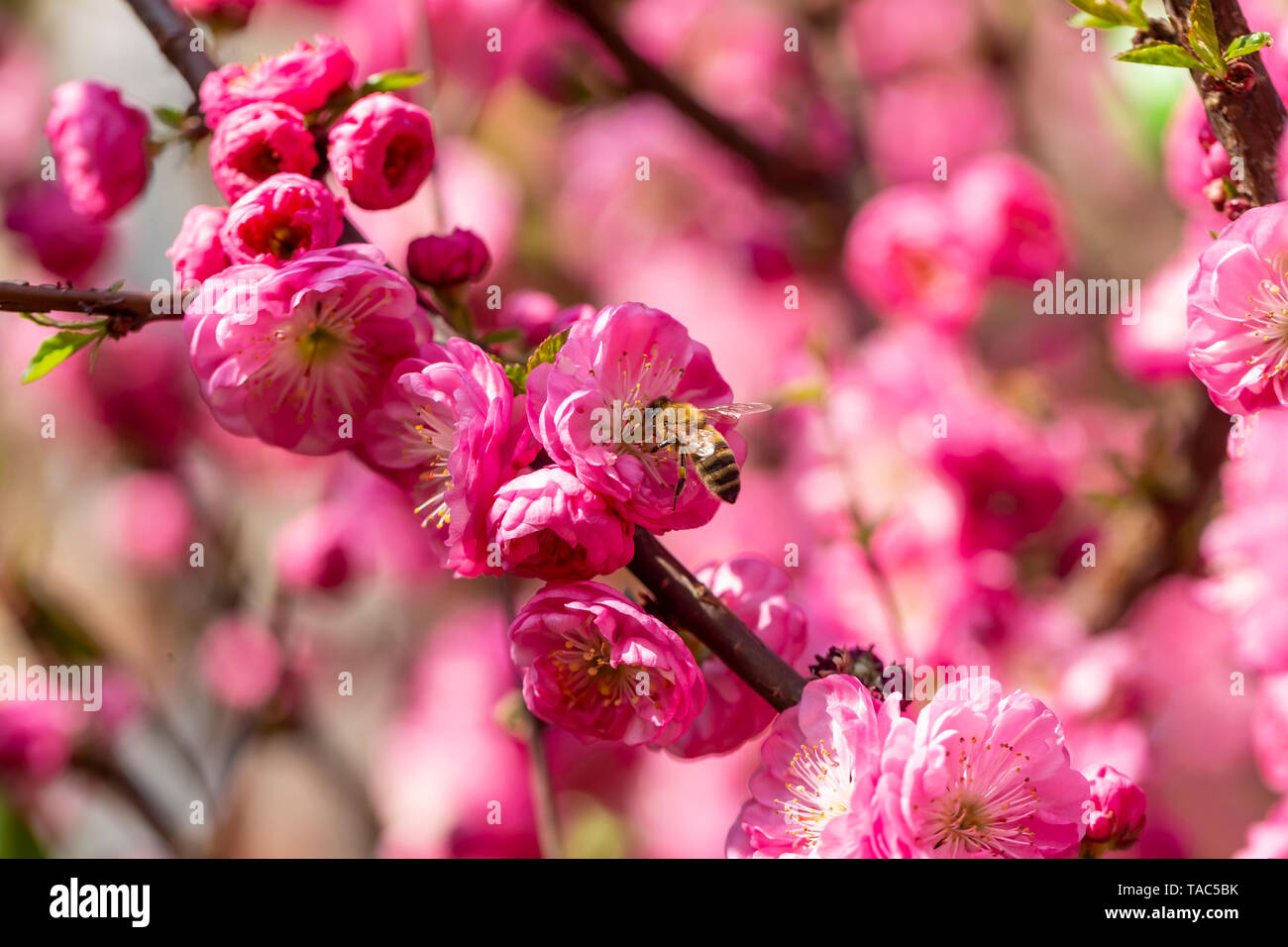 Bee on pink blossom of almond tree with - Stock Image
