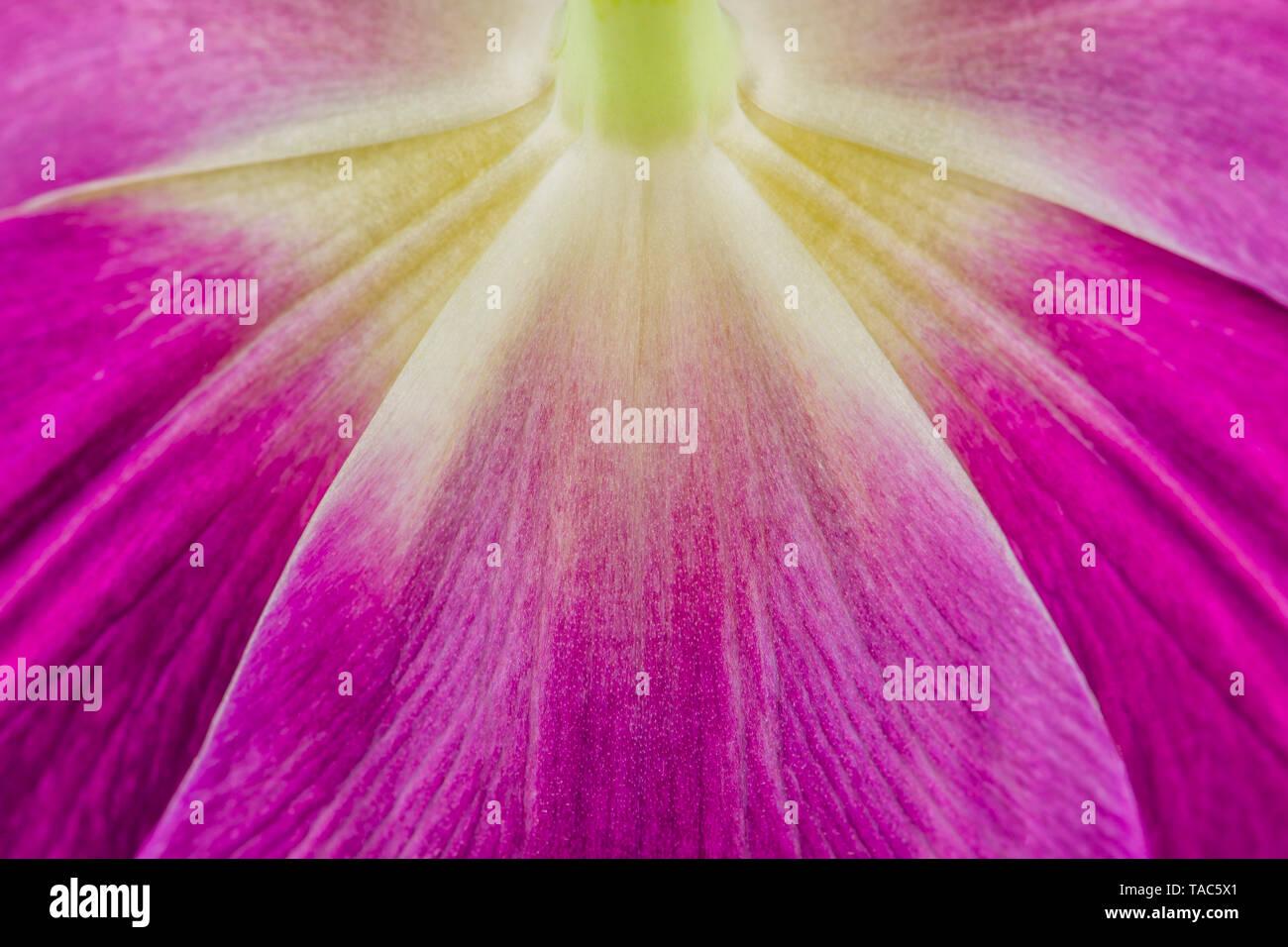 Tulip, close-up - Stock Image