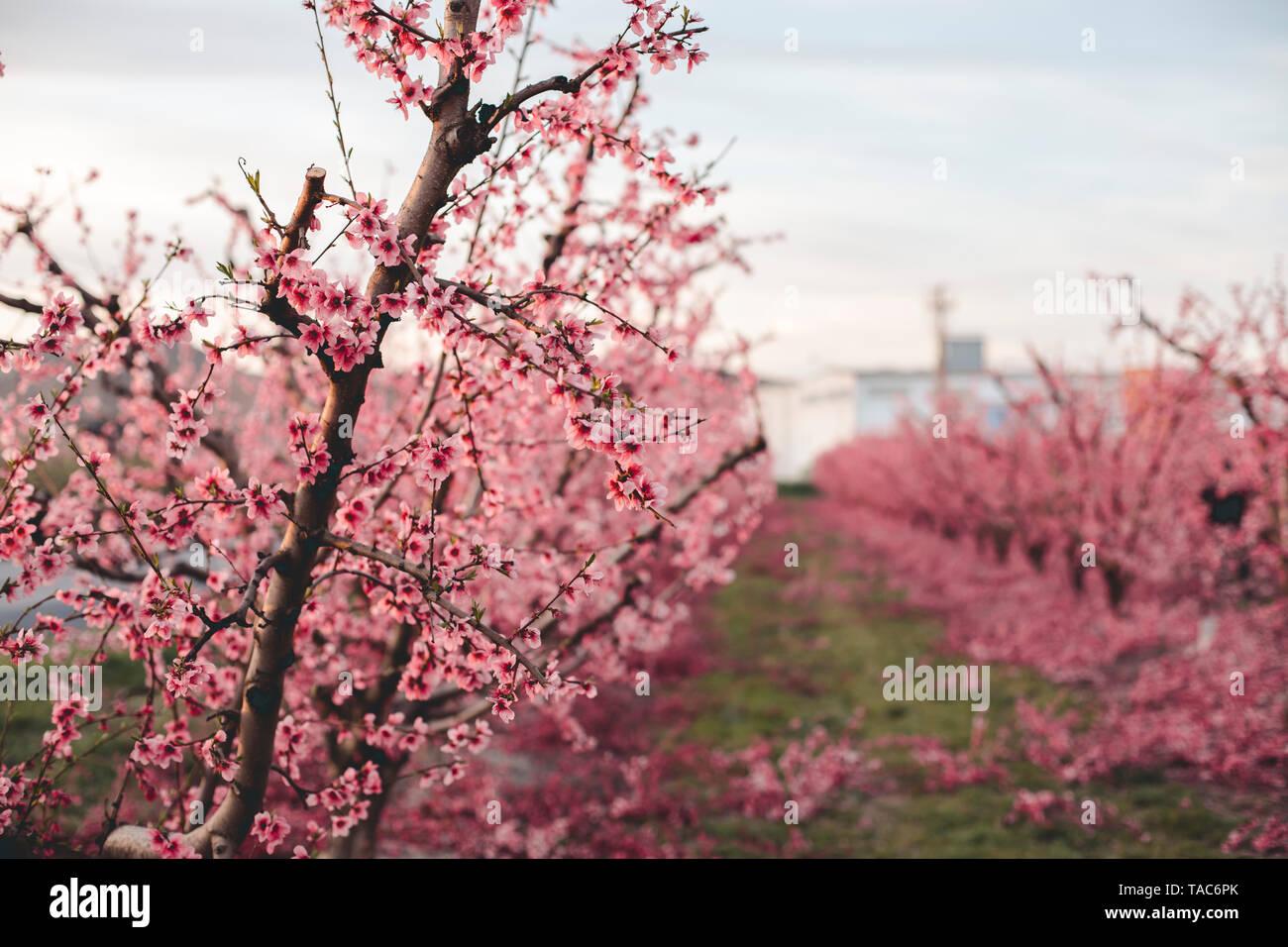 Spain, Lleida, peach blossom - Stock Image