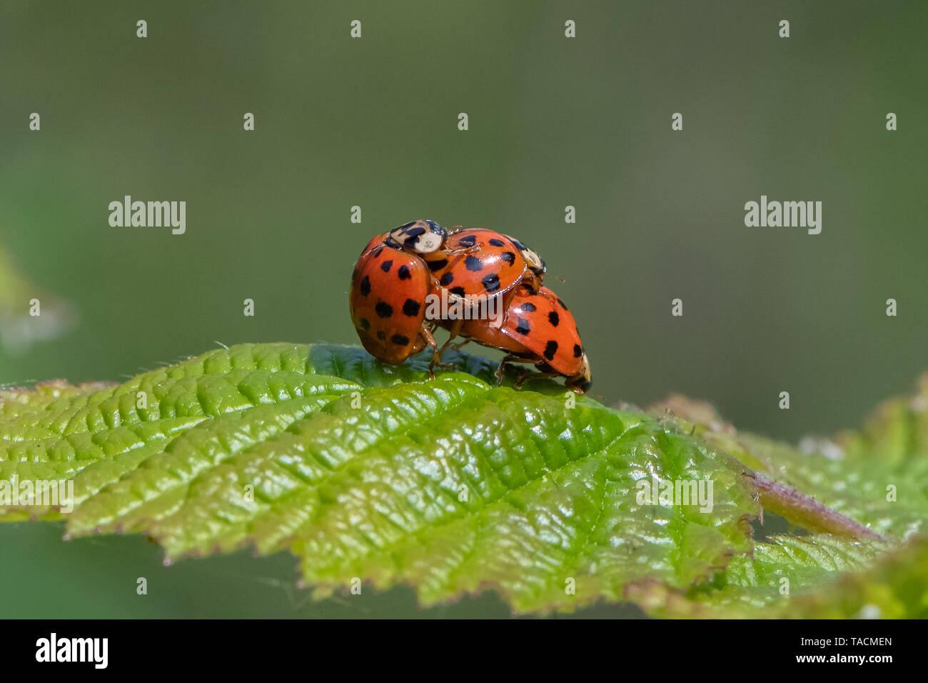 Harlequin ladybird ( Harmonia axyridis) mating. - Stock Image