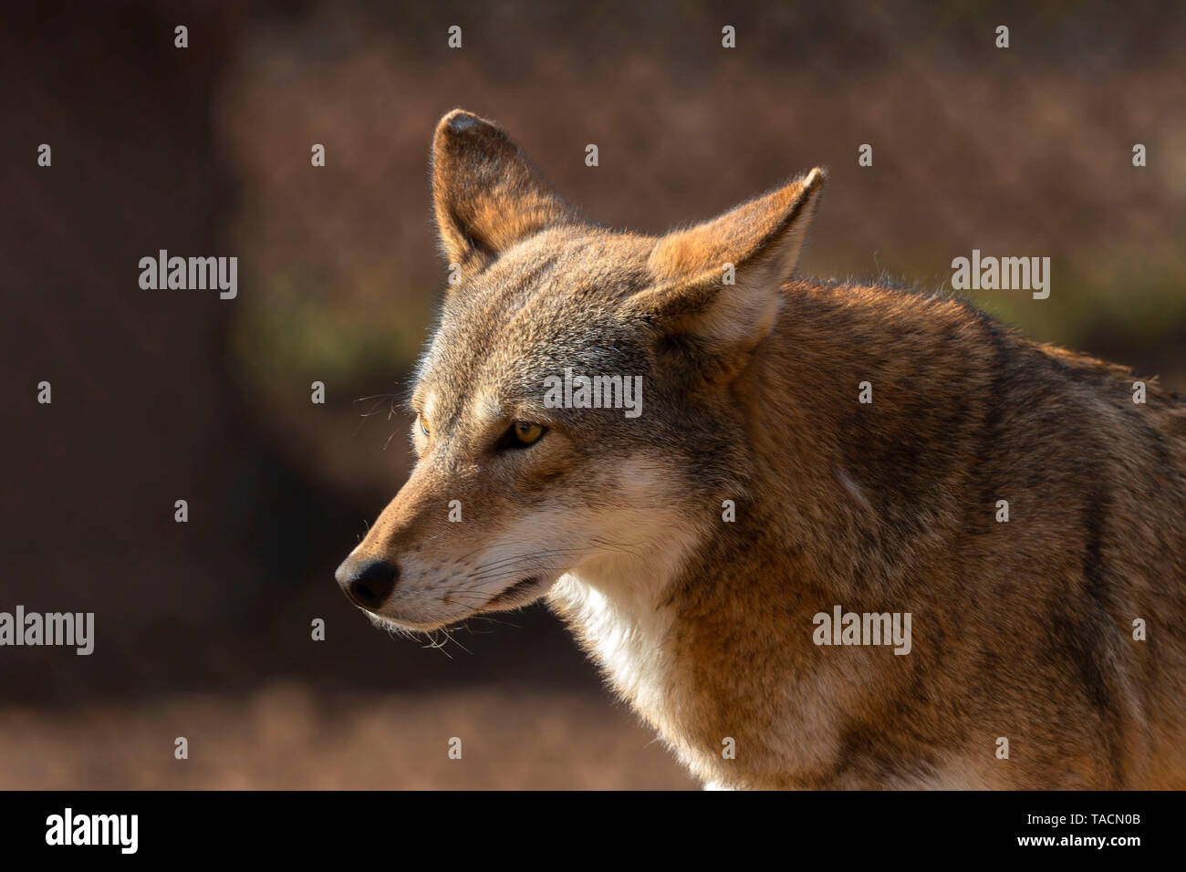 Red wolf (Canis lupus rufus) a rare wolf species  native to the southeastern United States. Picture from ZOO. Stock Photo