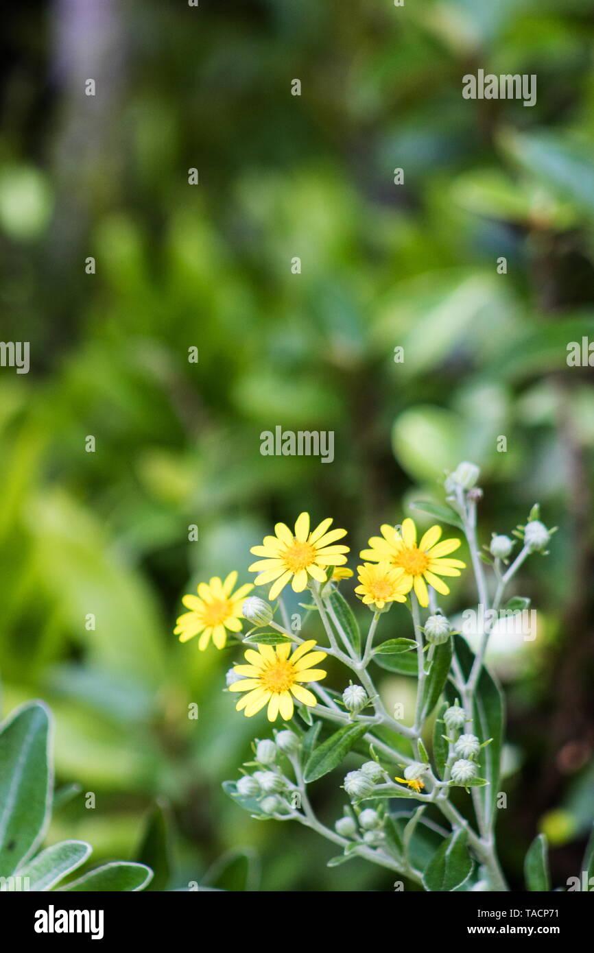 Brachyglottis greyi, also called Senecio greyi, with the common name daisy bush is an endemic native of New Zealand. Stock Photo
