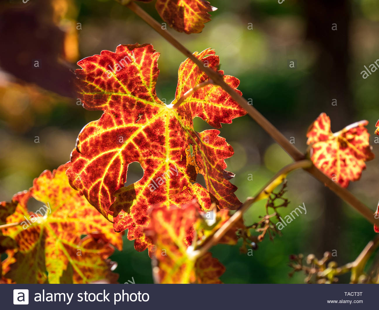 Autumn Leaves in the vineyard. Barmera, South Australia. Golden glow. - Stock Image