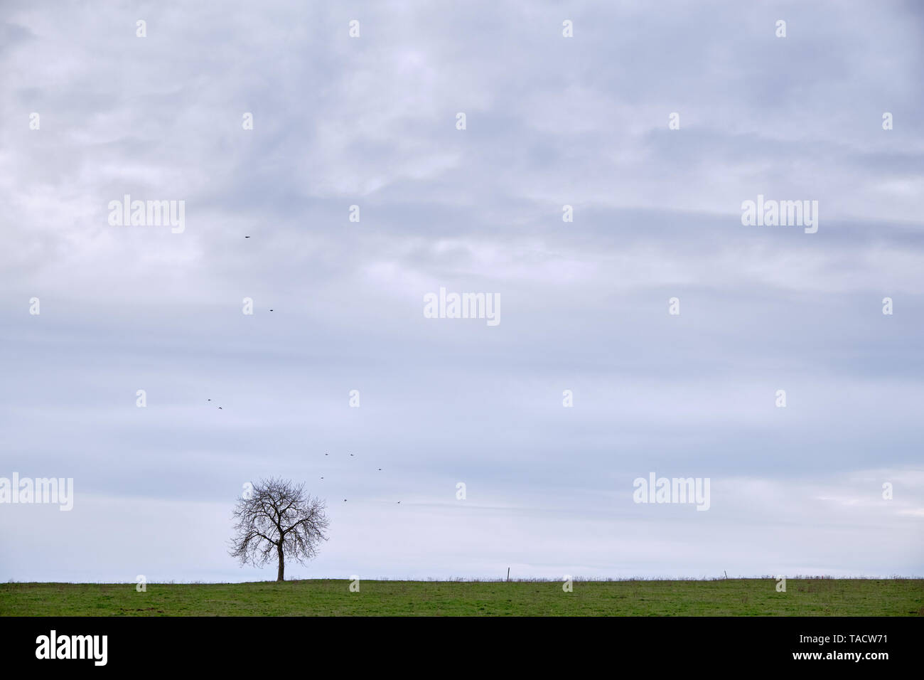 Minimalist landscape with lonely bare tree on a meadow with some little birds around in the bright grey sky with clouds. Seen in Germany in March - Stock Image