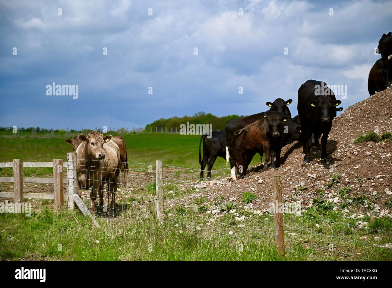 Herd or group of cows stood in a hillside in dramatic stance, hints of power and isolation. - Stock Image