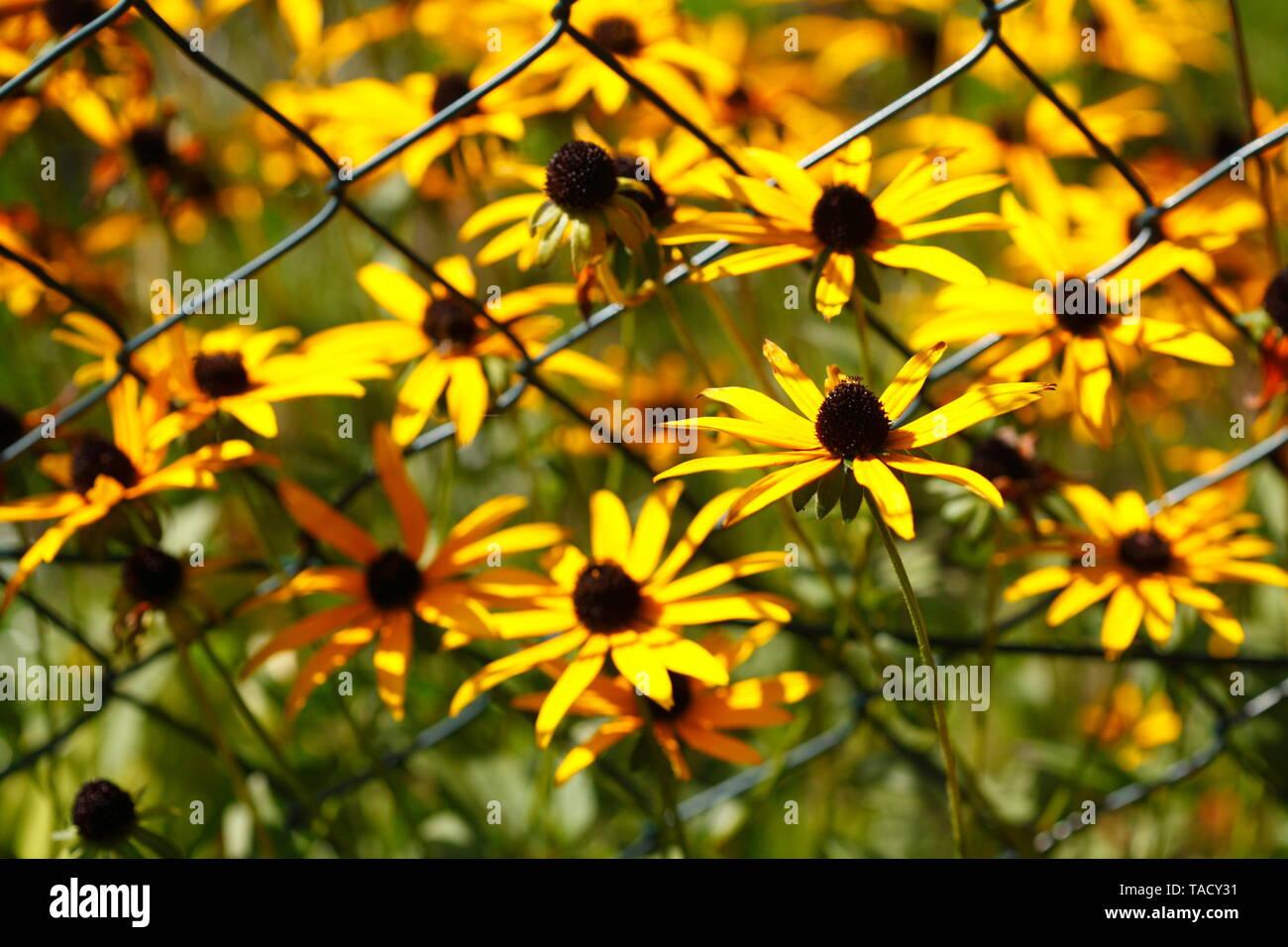 Blooming yellow sun hat (Rudbeckia fulgida), bloom, close-up, Germany, Europe - Stock Image