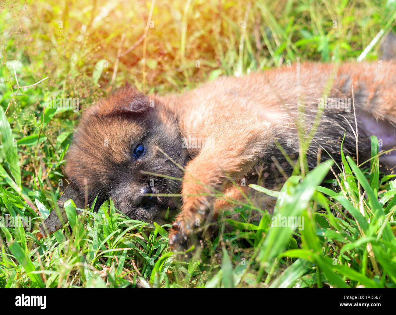 puppy cute dog playing lying on green grass in the park / black brown little baby dog asia thai in garden outdoors - Stock Image