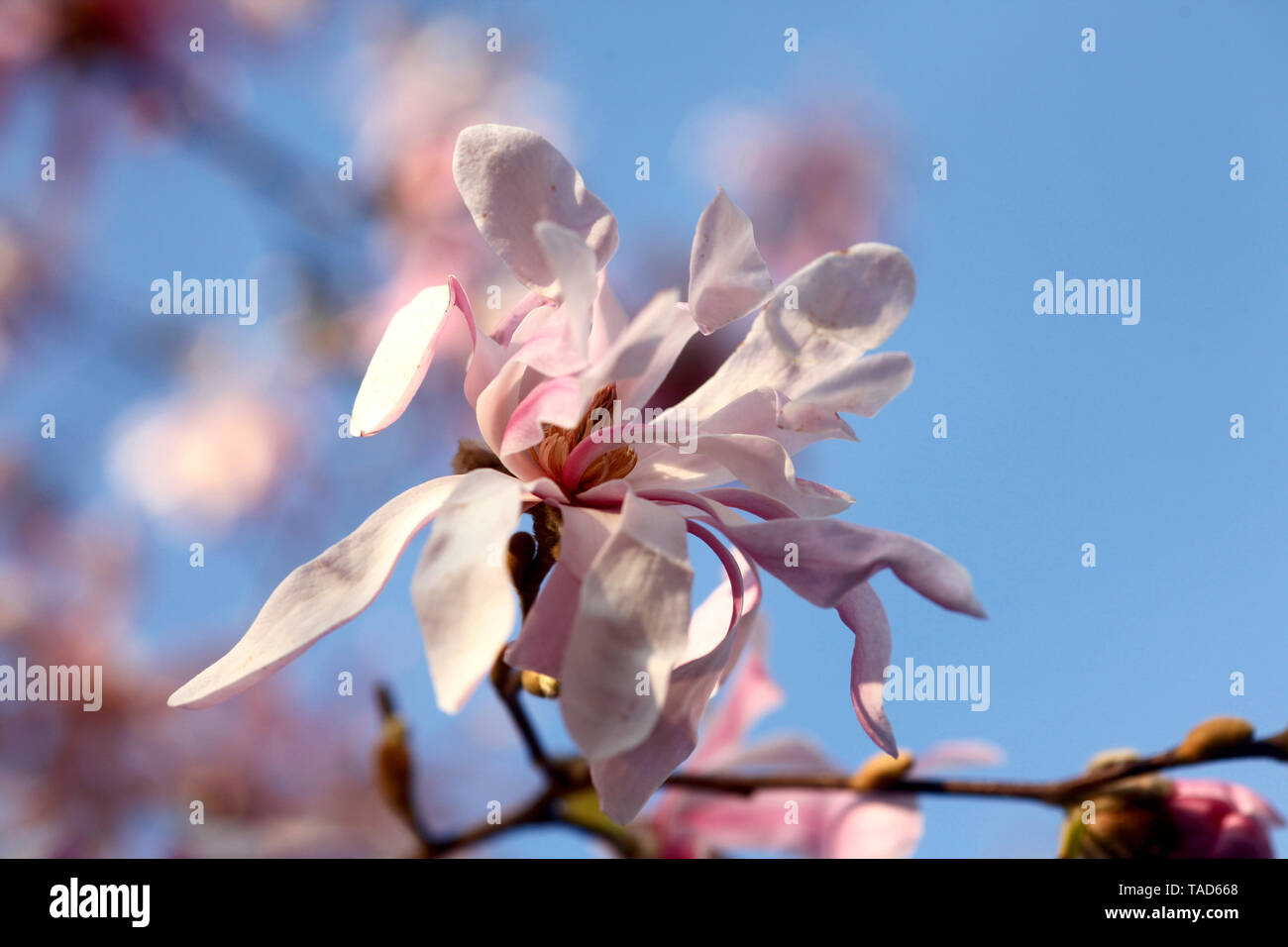 Blossoms of magnolia tree, close-up - Stock Image