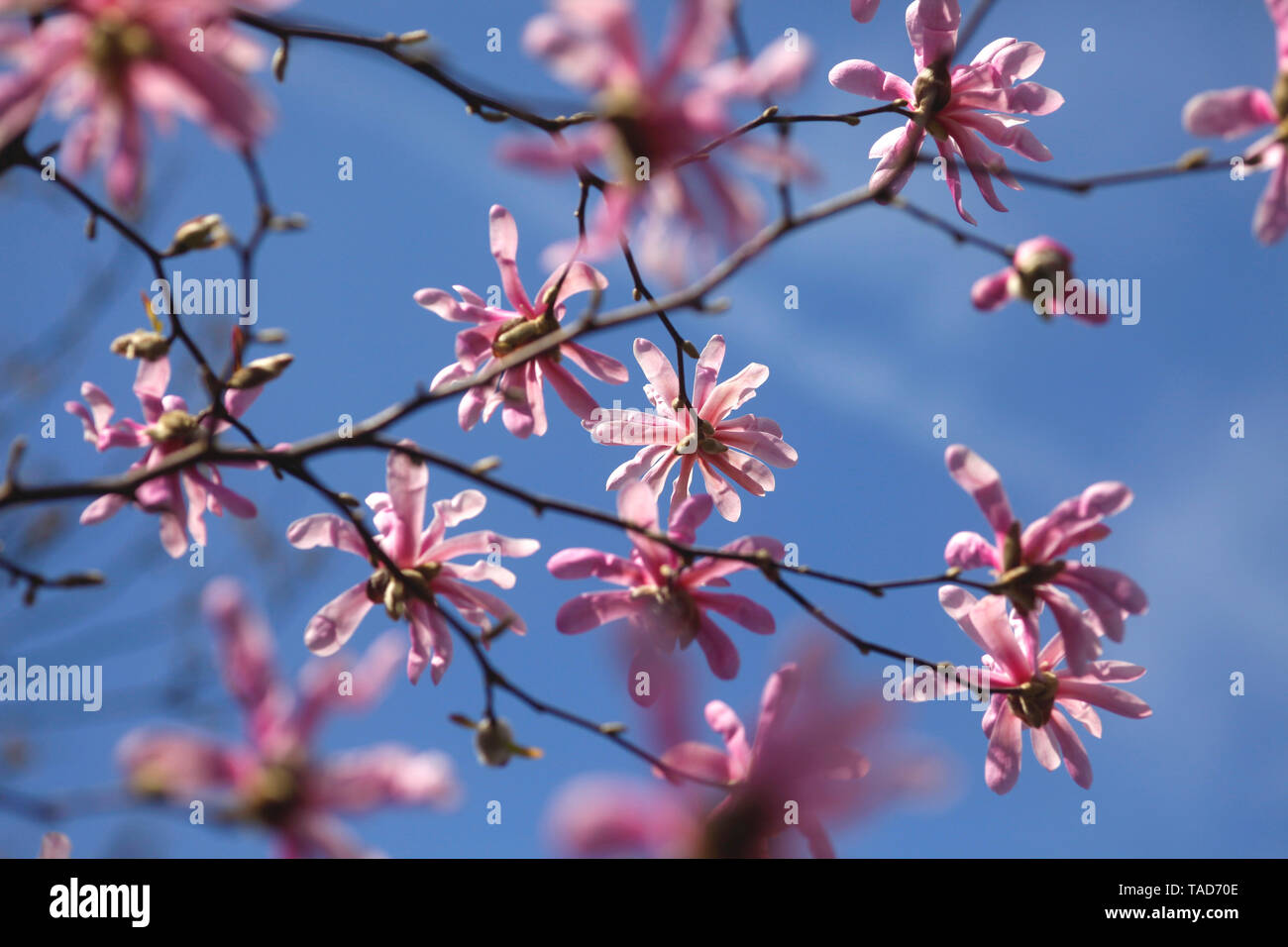 Pink blossoms of magnolia tree against blue sky - Stock Image