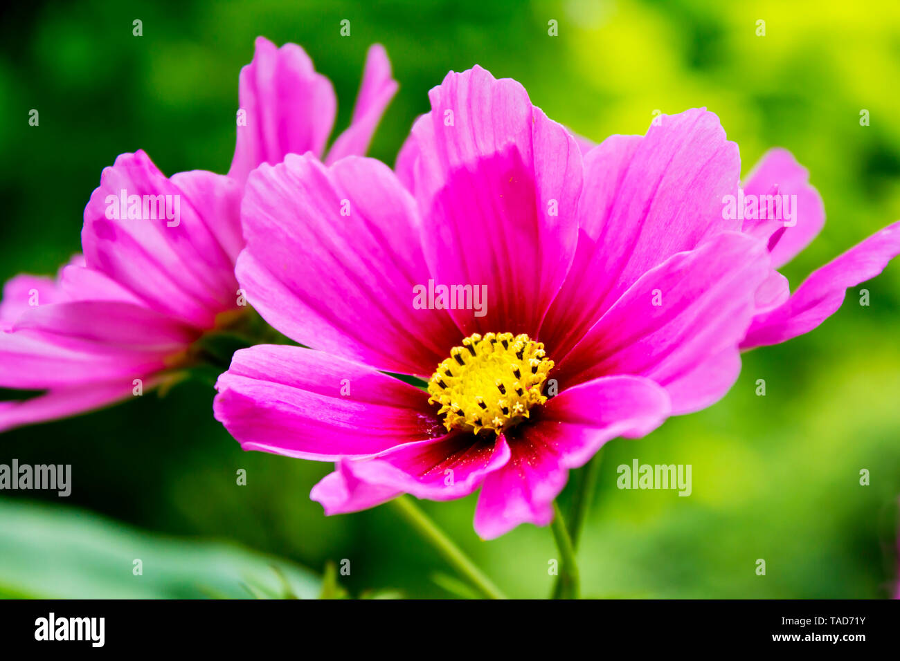 Pink cosmea flowers, close up - Stock Image