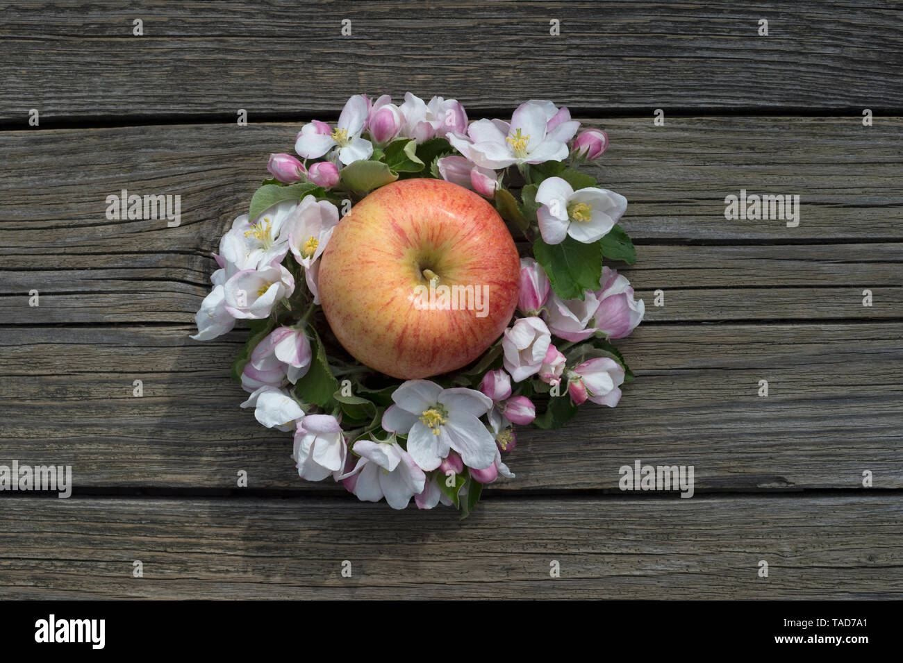 Apple 'Gala Royal' surrounded by apple blossoms on wood - Stock Image