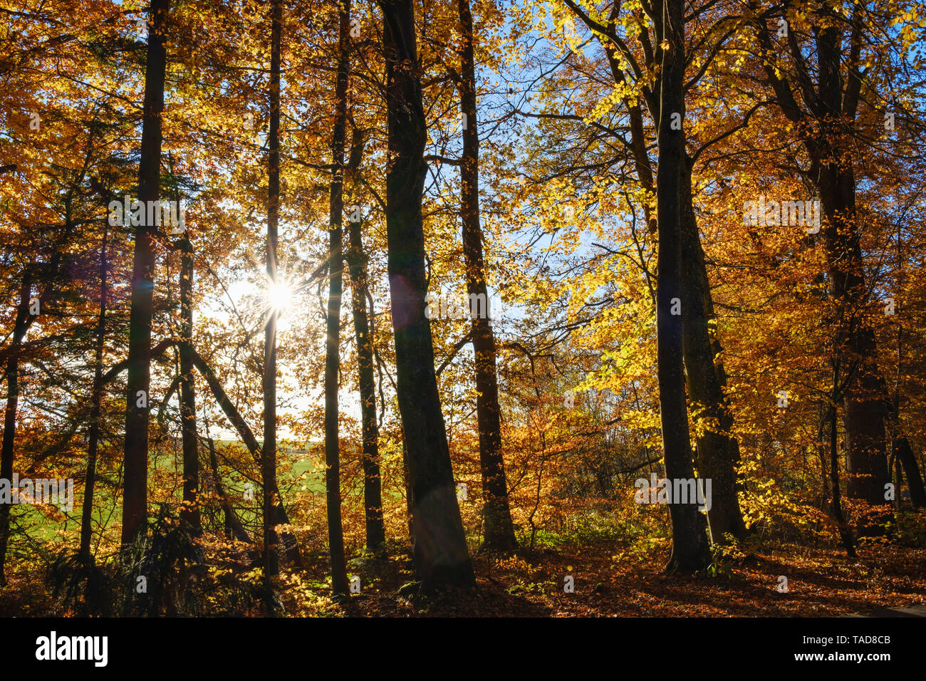 Germany, Bavaria, autumnal beech forest in sunshine near Dietramszell Stock Photo