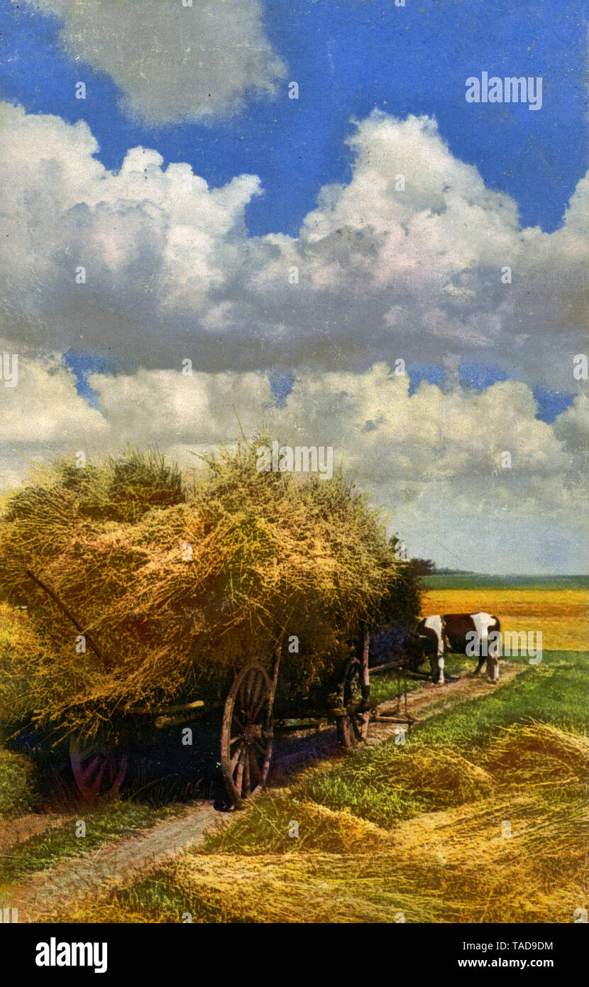 Harvesting trolley fully loaded with sheaves, grazing cattle as a draught animal ,  (postcard, ) - Stock Image