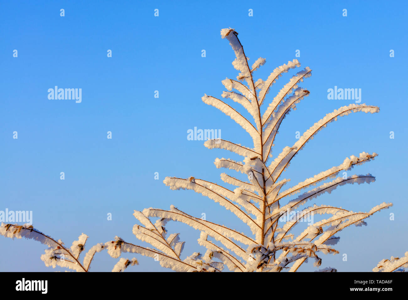 The branches of the bush in the frost, as if enchanted, are illuminated by gentle sunlight against a blue sky. - Stock Image