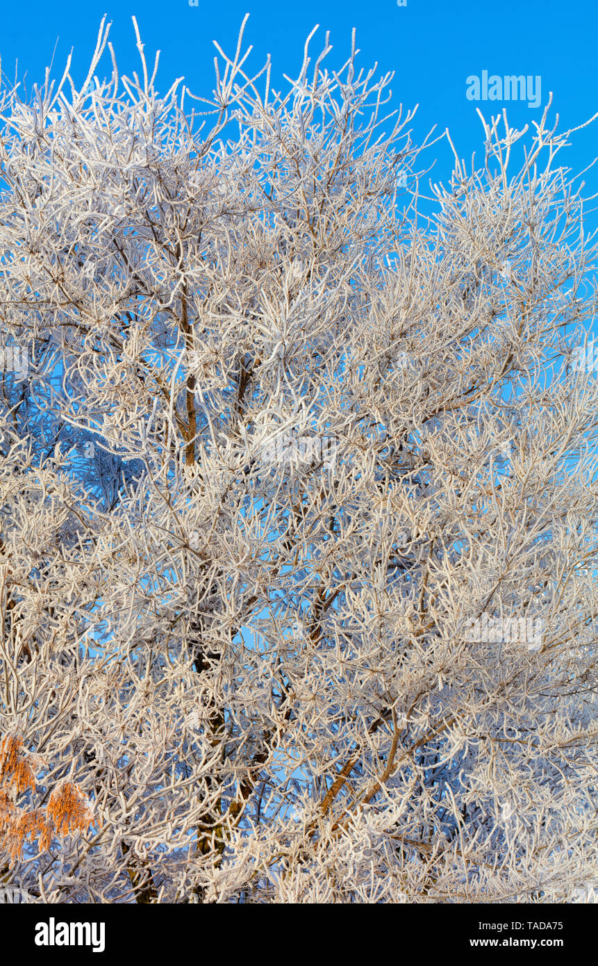 The branches of an ash-tree in the frost are thickly wrapped in hoarfrost and illuminated by gentle sunlight against a blue sky. - Stock Image