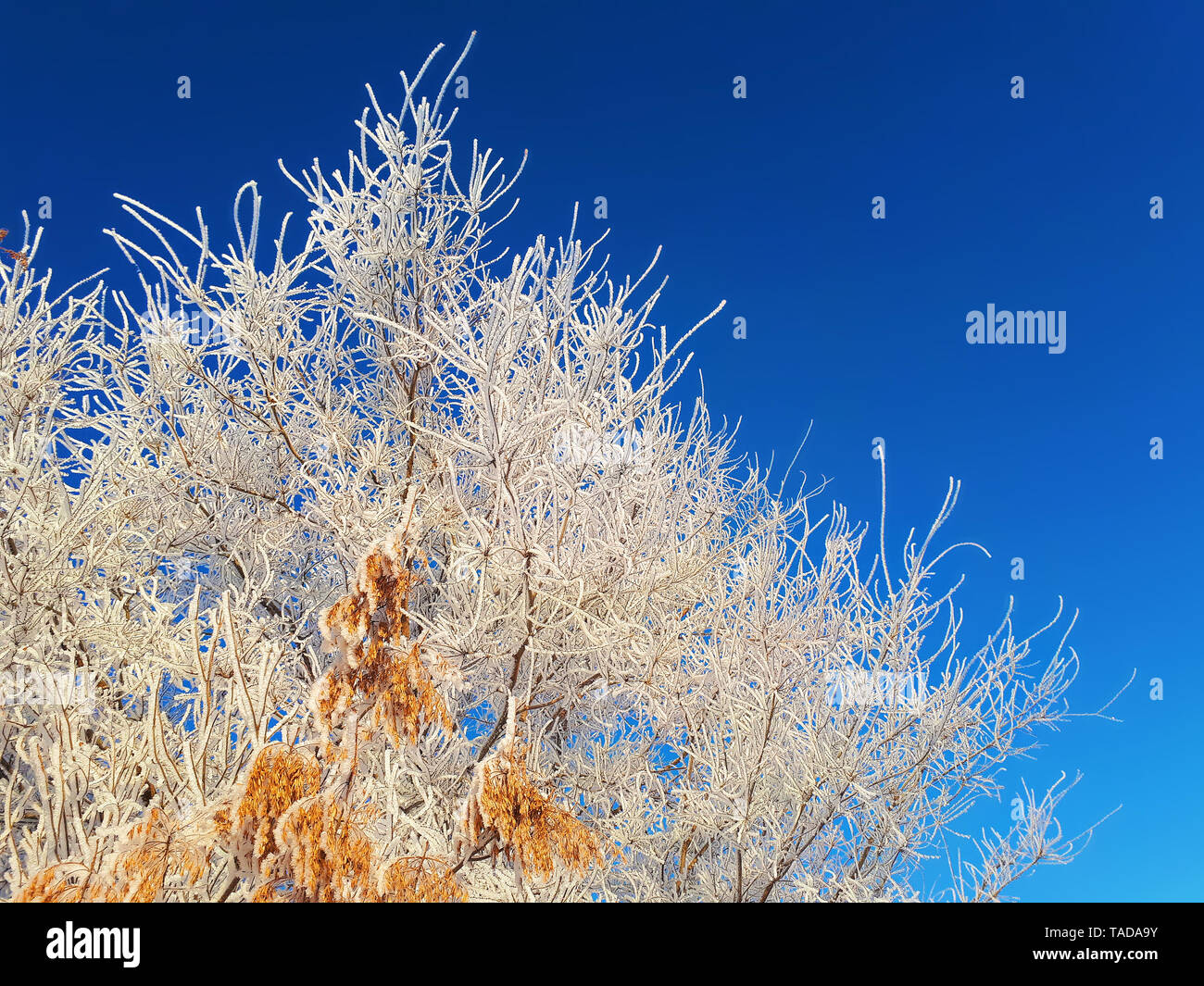 The branches and gold seeds of an ash-tree in the frost are thickly wrapped in hoarfrost and illuminated by gentle sunlight against a blue sky. - Stock Image