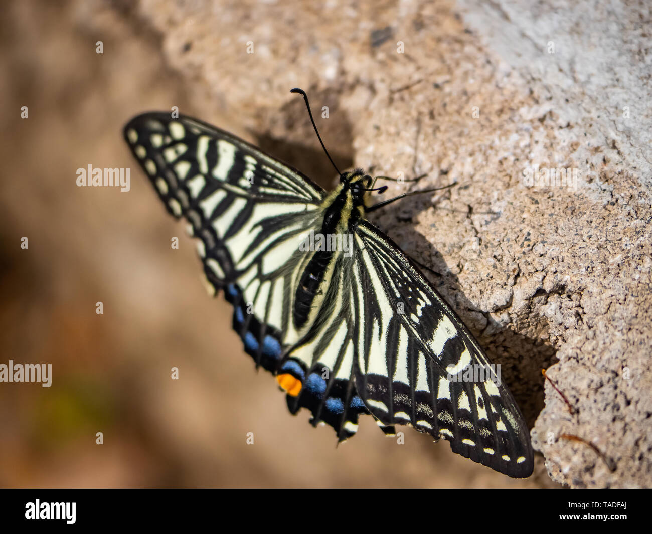 A chinese asian swallowtail butterfly, papilio xuthus, rests on the ground between feeding on flowers. Stock Photo