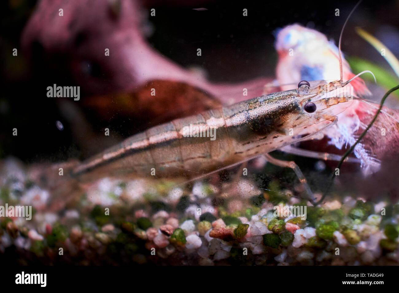 An Amano shrimp feeding on a dead red phantom tetra in a home aquarium. - Stock Image