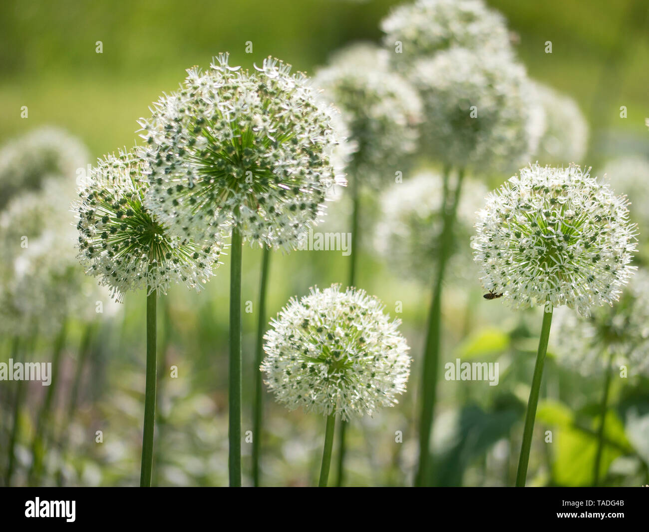 White giant alliums flowering in spring boarder - Stock Image