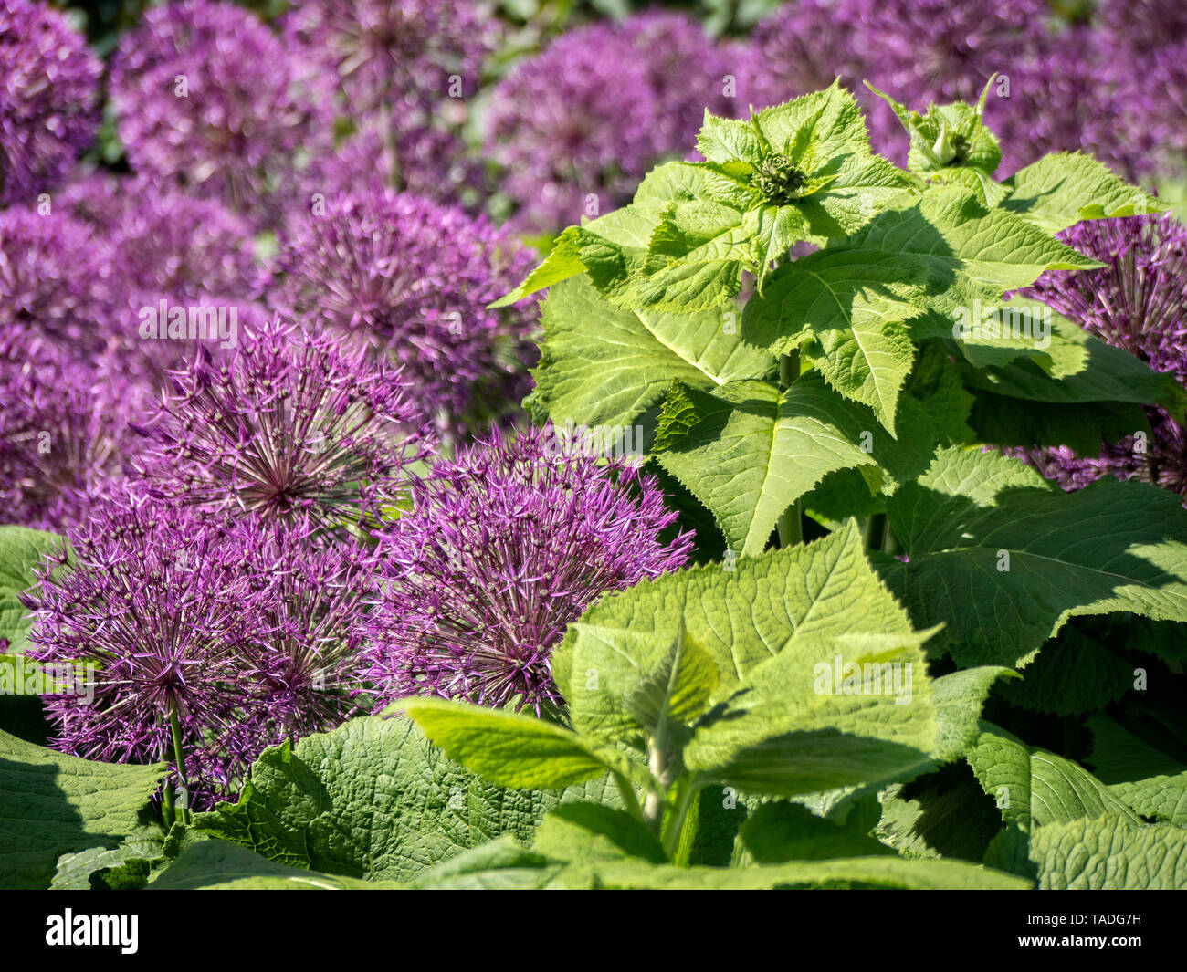 Giant Alliums in boarder with large green foliage. Stock Photo