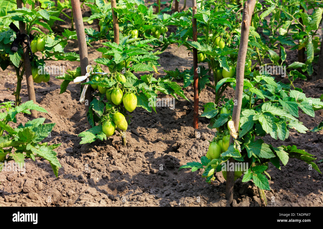 Bushes of green tomatoes are tied to wooden sticks, grow in the garden bed and illuminated by sunlight. - Stock Image