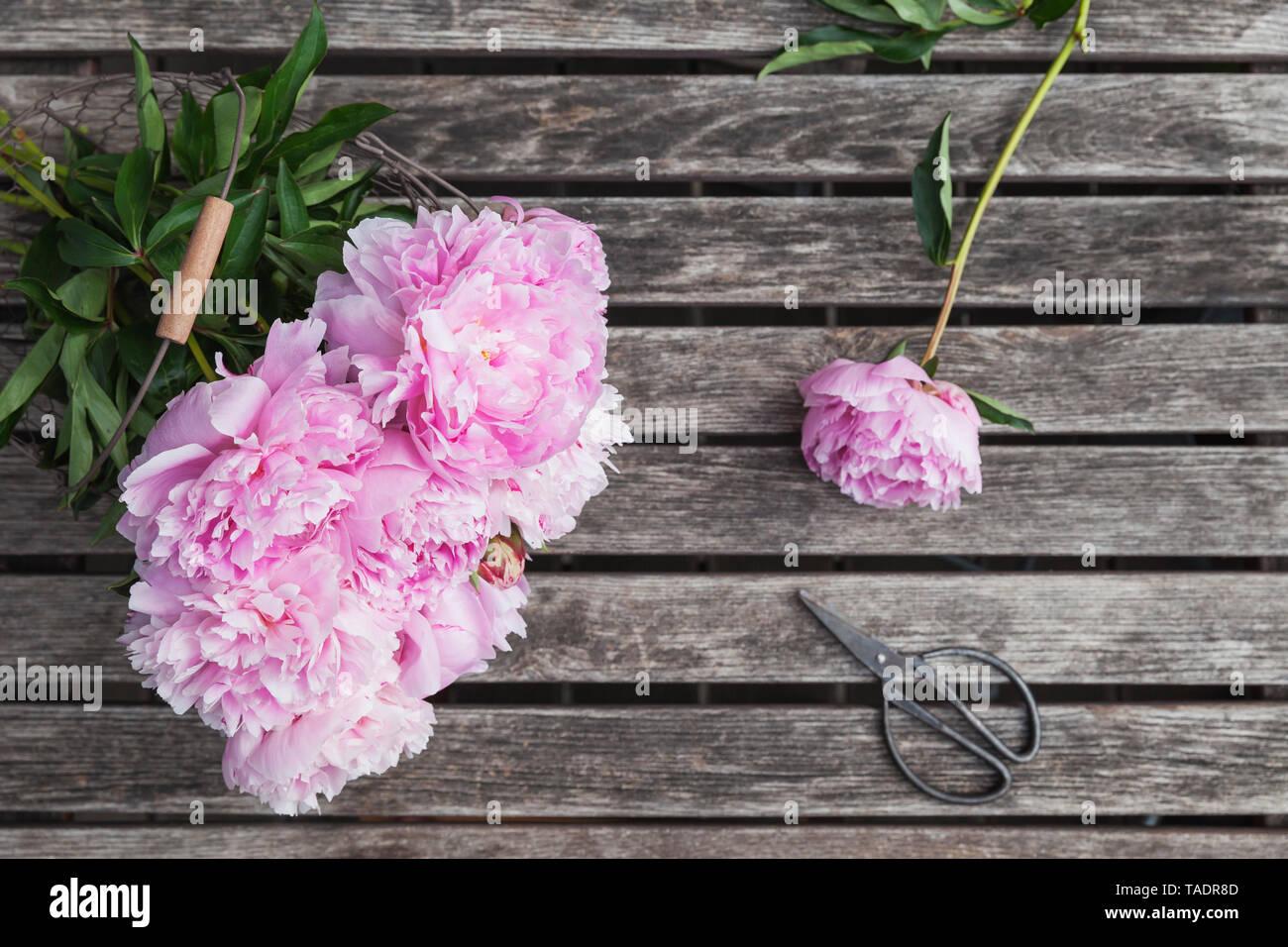 Peonies in basket on garden table with pruner - Stock Image