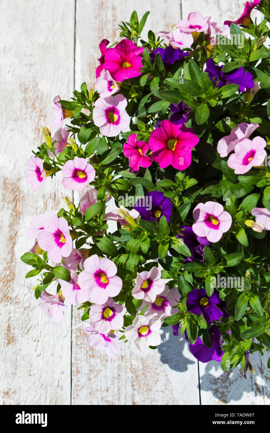 Calibrachoa flowers, elevated view - Stock Image