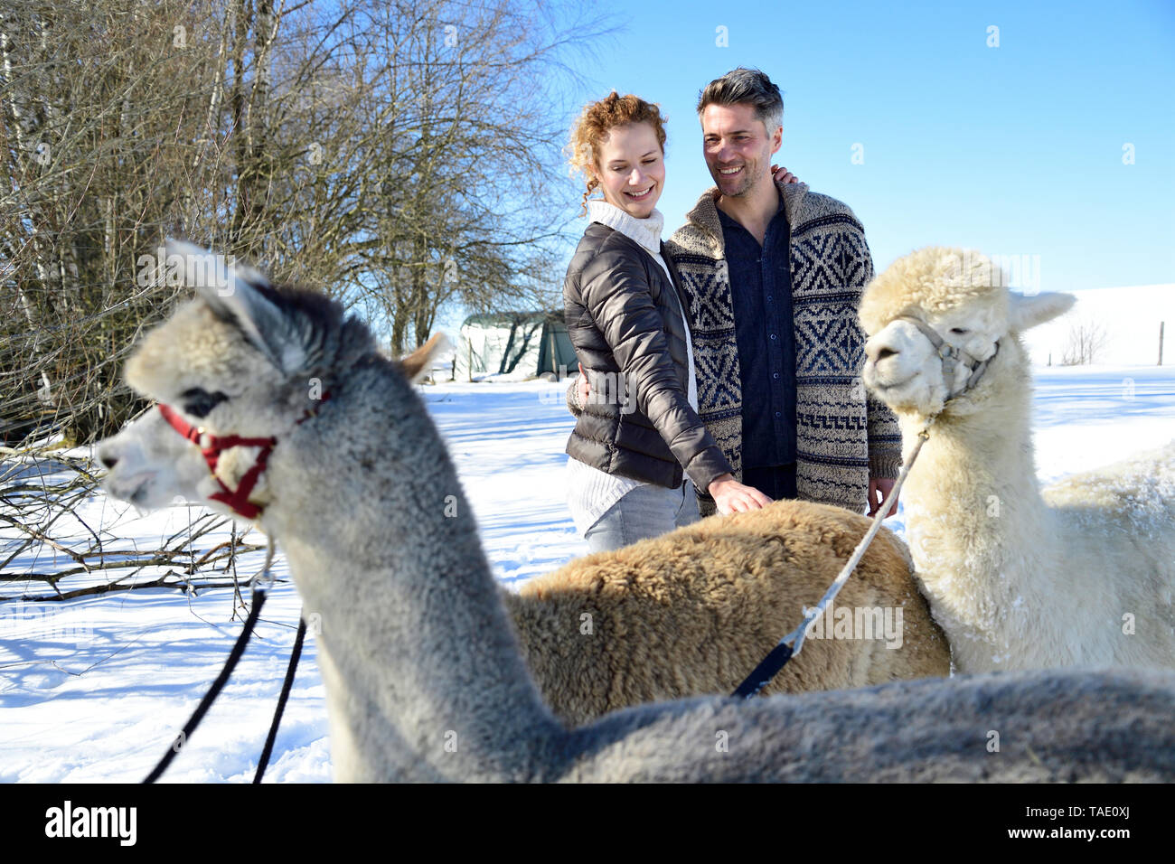 Happy couple with alpacas on a field in winter - Stock Image