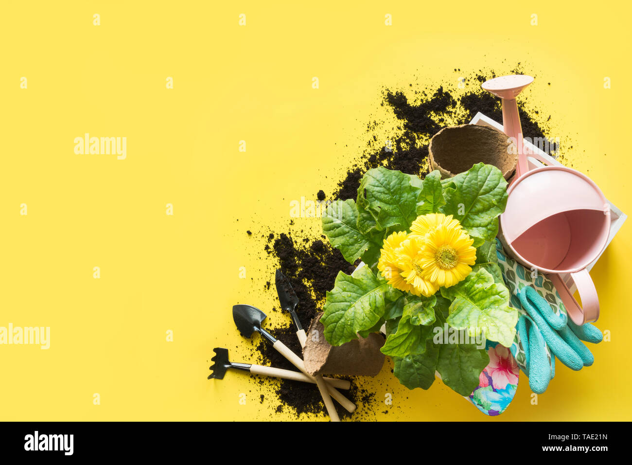 Gardening background with gerbera, tolls and flowers plant in box on yellow background. View from above. Space for text. - Stock Image