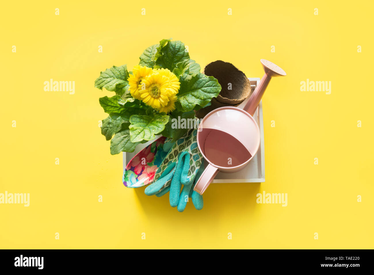Gardening background with gerbera, tolls and flowers plant in box on yellow background. View from above. - Stock Image