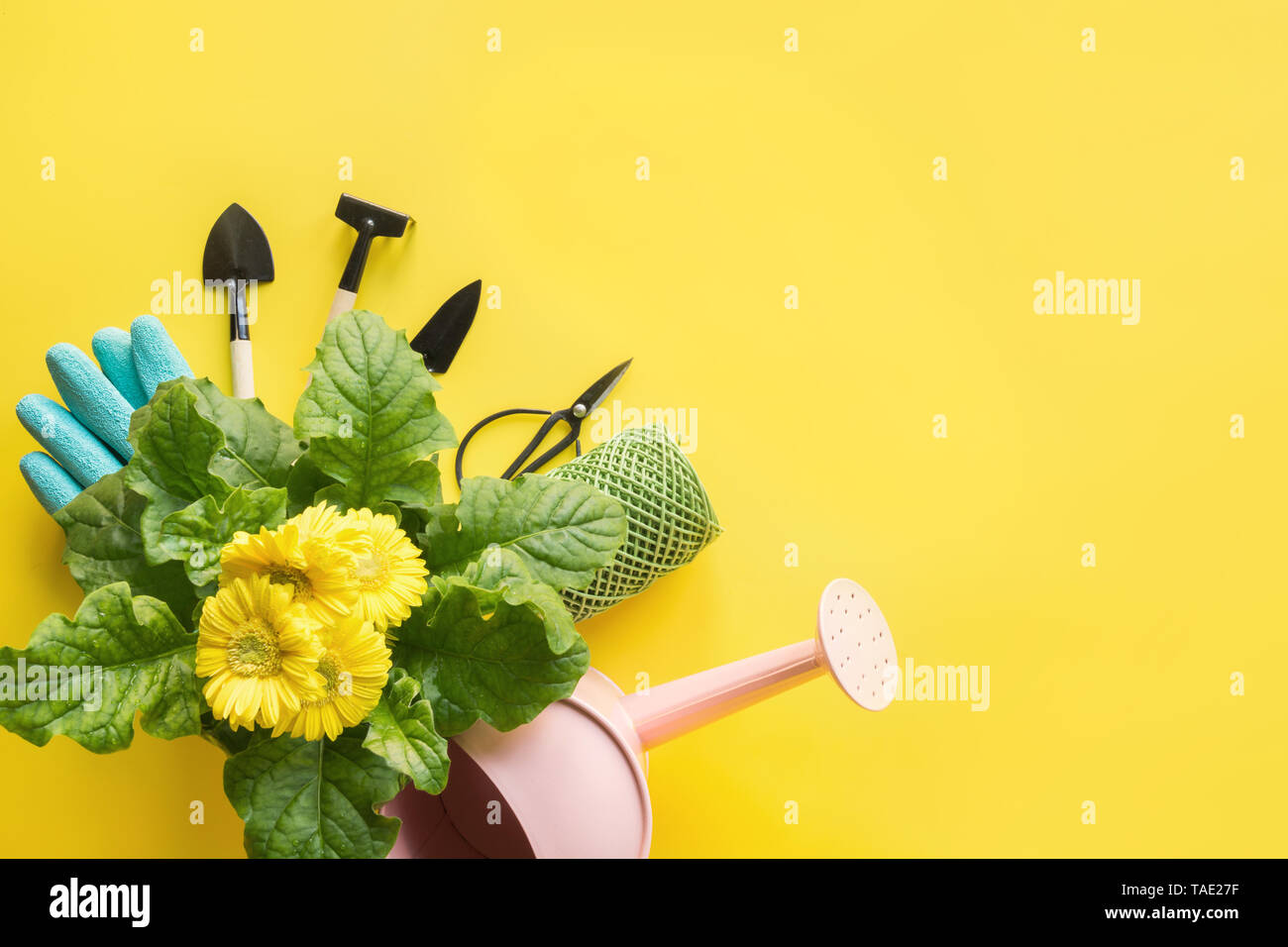 Gardening background with yellow gerbera, tolls and garden flowers plant on yellow background. Top view, place for text. - Stock Image
