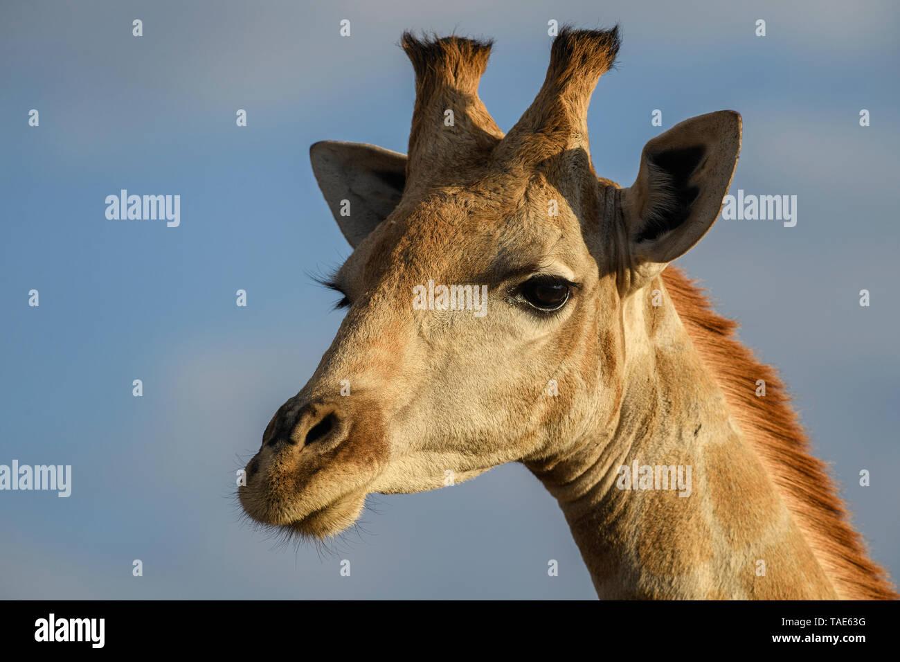 Giraffe - Giraffa giraffa, safari in Etosha National Park, Namibia, Africa. Cute member of African big five. Stock Photo