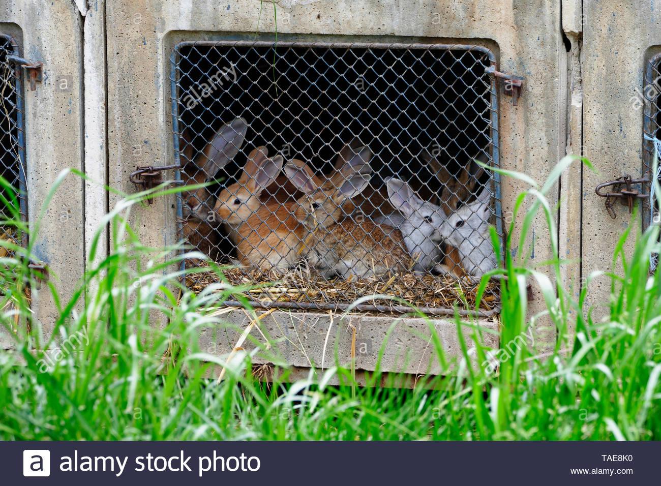 Breeding rabbits in an old farm, North Mayenne, Pays de la Loire, France - Stock Image