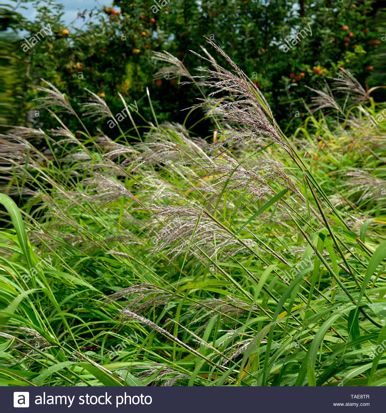 Miscanthus (Miscanthus sinensis) on the grass of the garden, variety 'Silberfeder', Suzanne's vegetable garden, Le Pas, Mayenne, Pays de la Loire, France - Stock Image