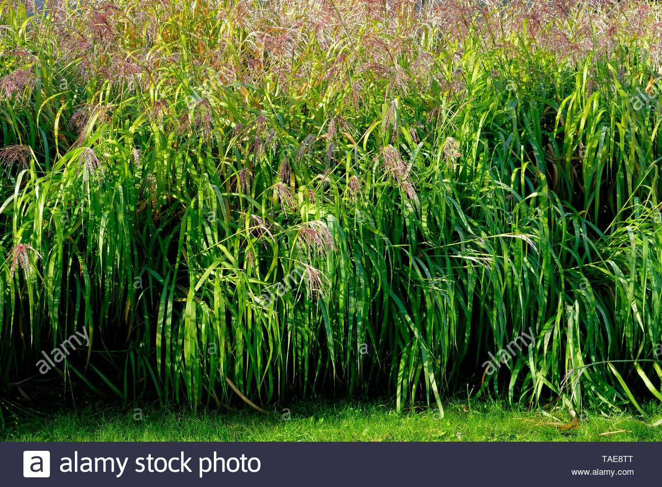 Miscanthus (Miscanthus sinensis) on the grass of the garden; variety 'Silberfeder'; (Suzanne's vegetable garden; Le Pas; Mayenne; Pays de la Loire; France). - Stock Image