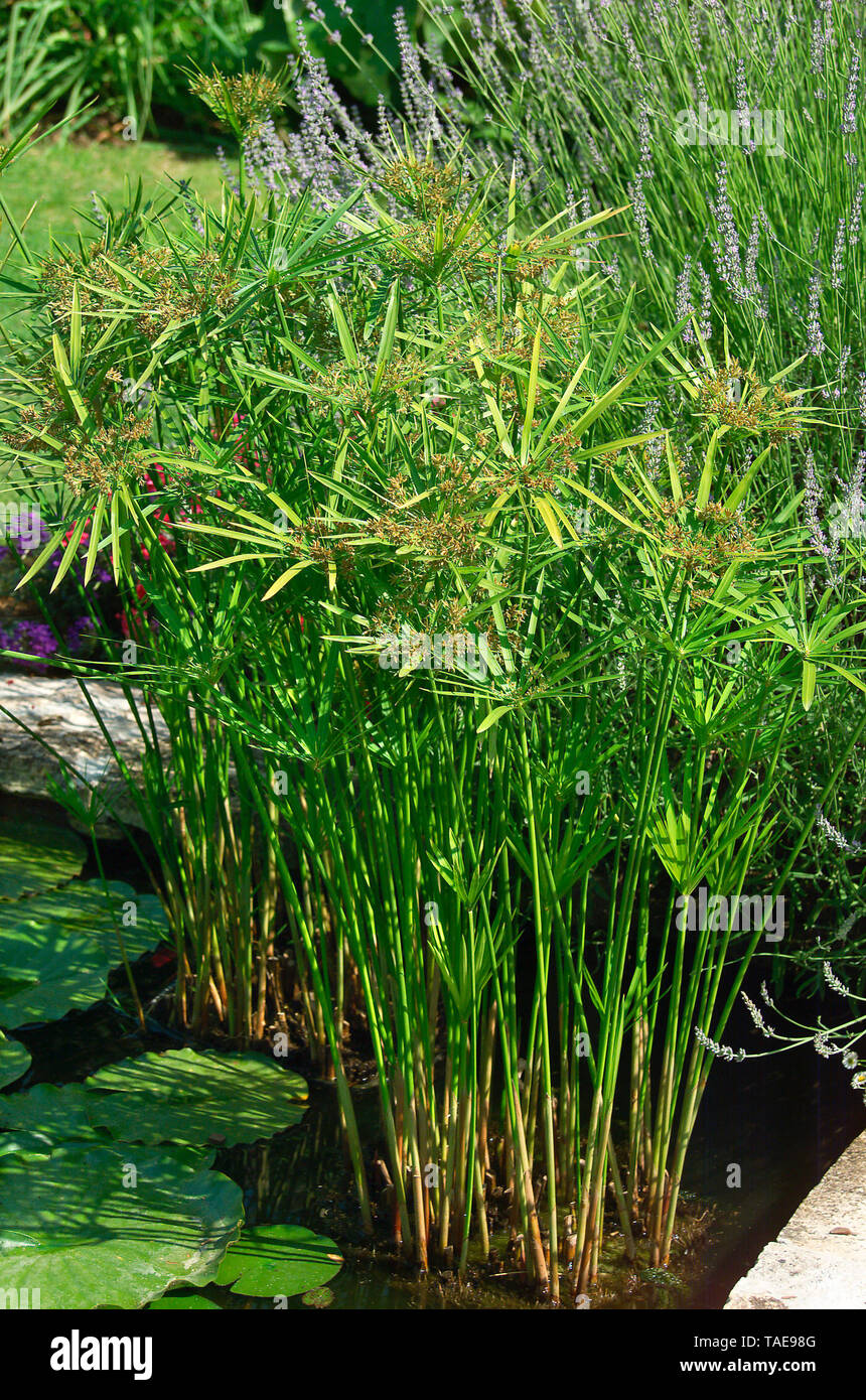 Umbrella papyrus (Cyperus alternifolius) - Stock Image