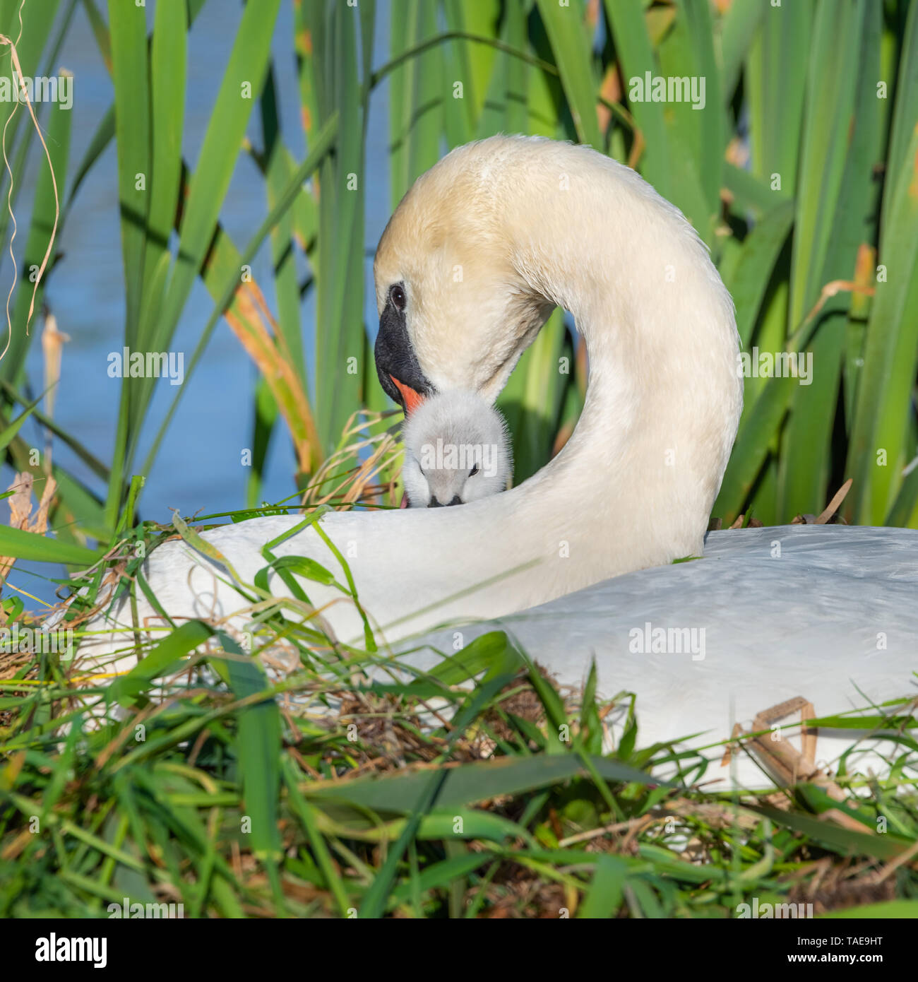 A mute swan (Cygnus olor), pen, and cygnet sitting together on a nest. - Stock Image